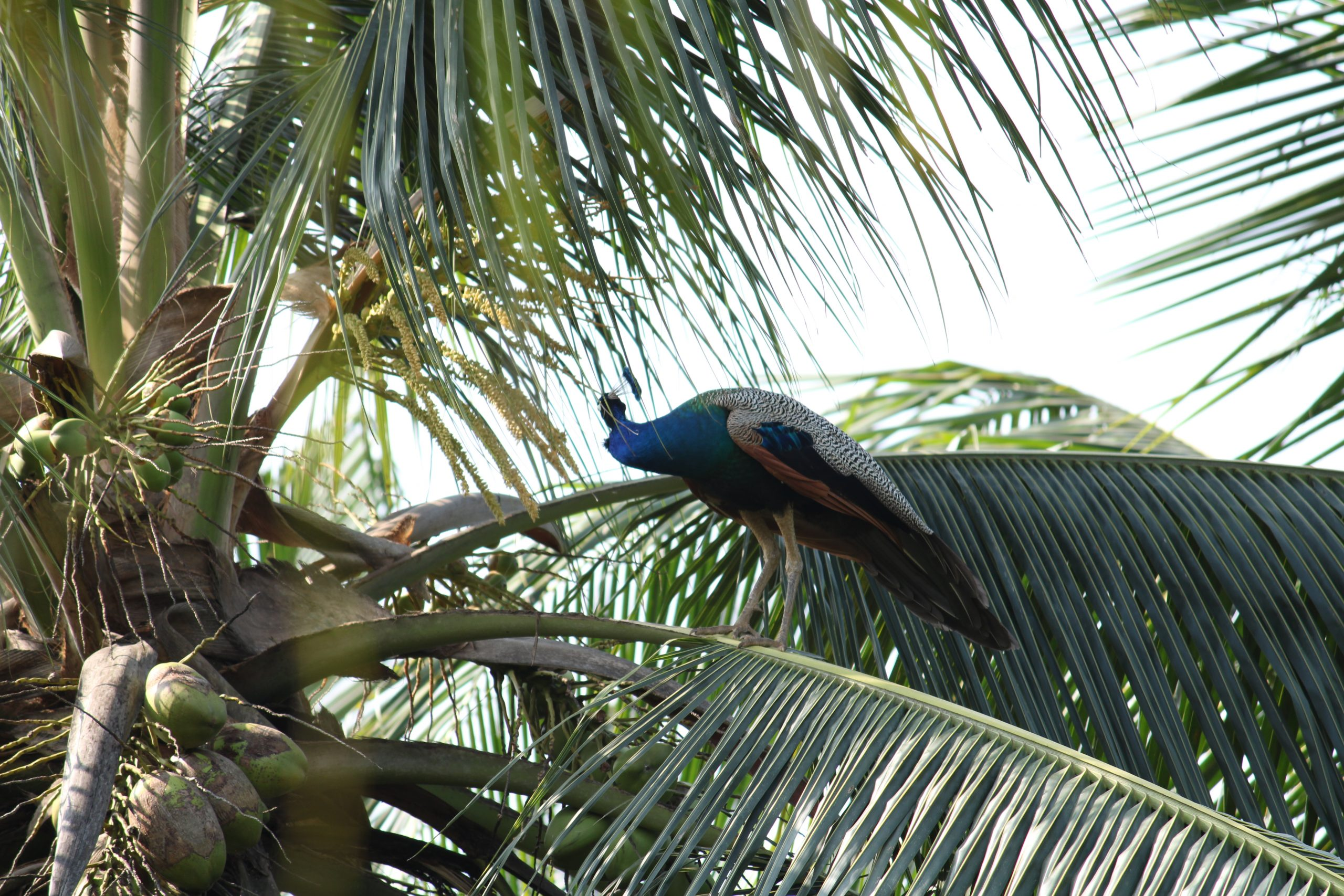 A peacock sitting on the coconut tree