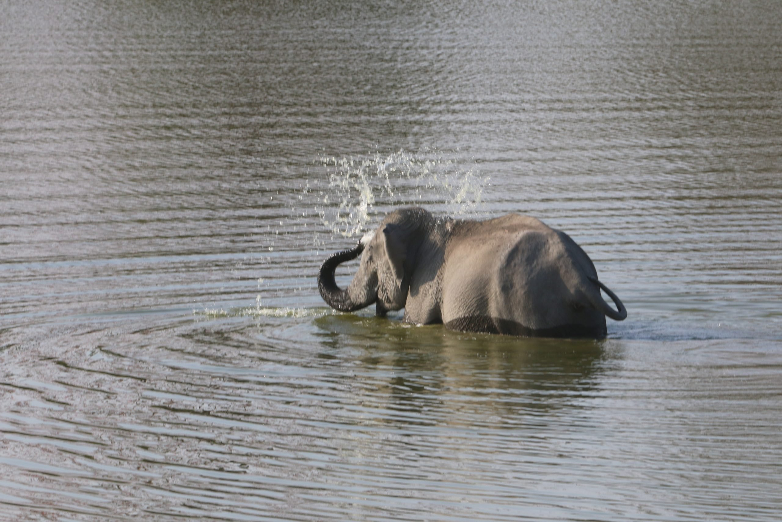 An elephant in river