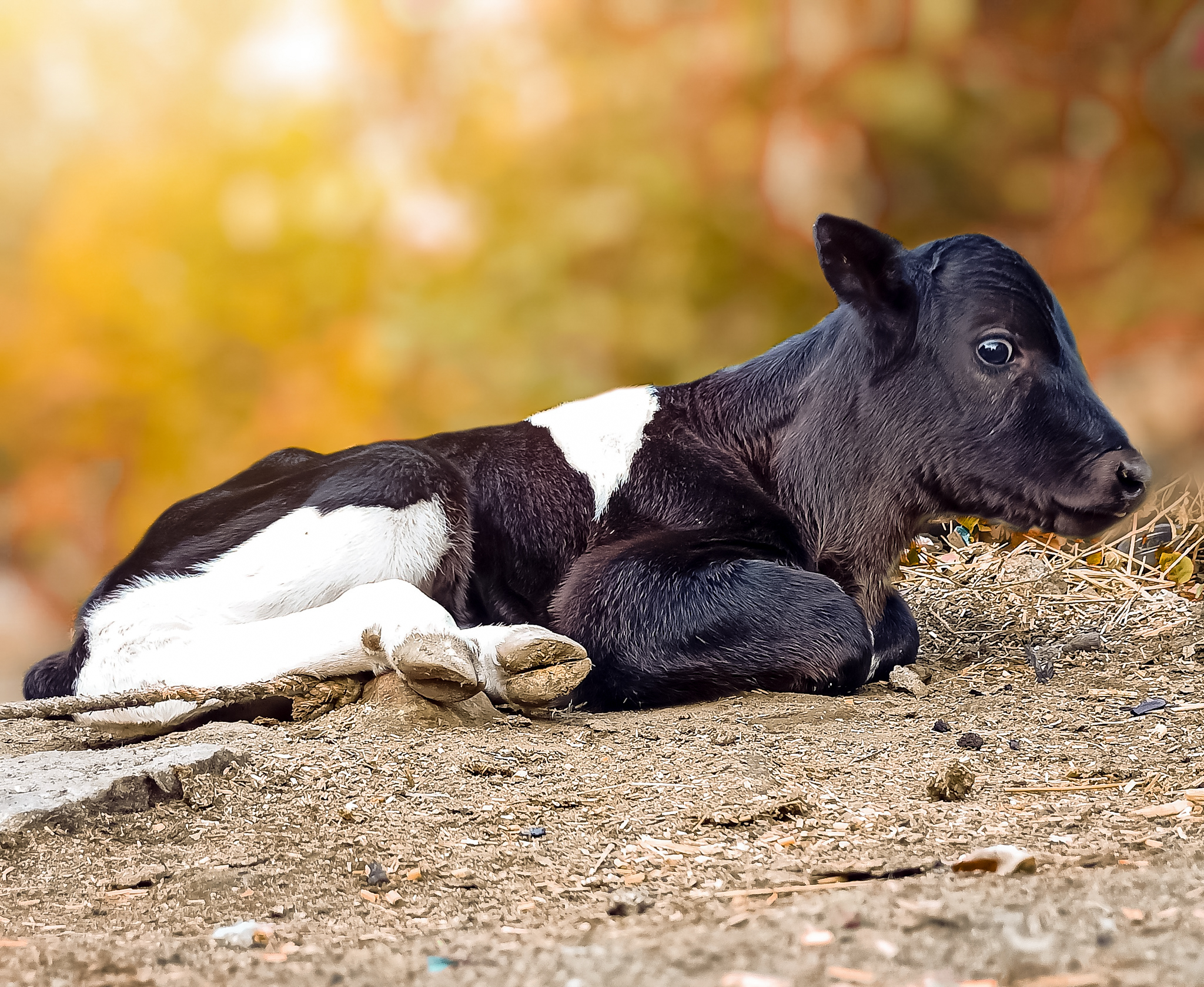 Baby calf on the ground
