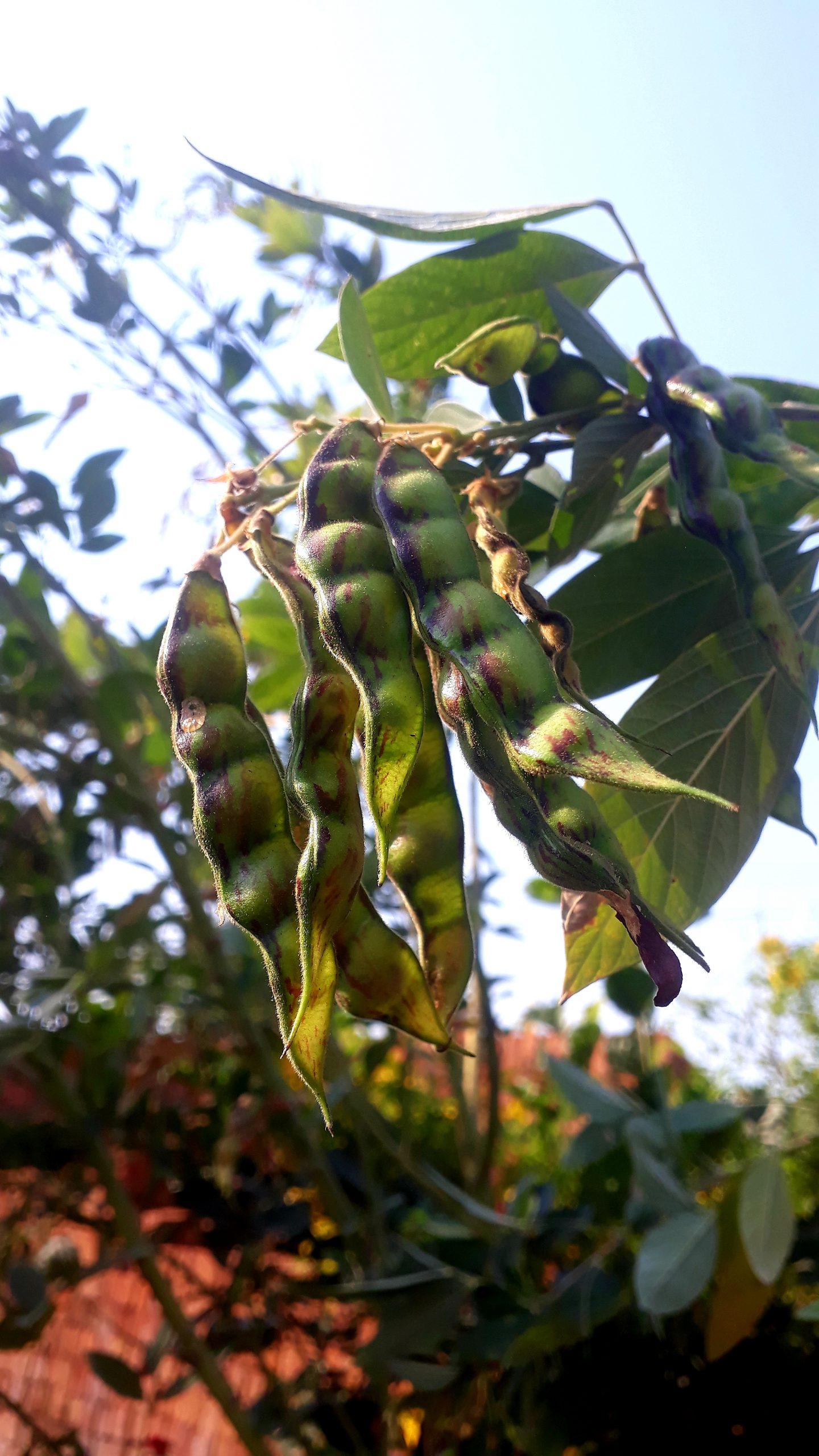 Beans on plant