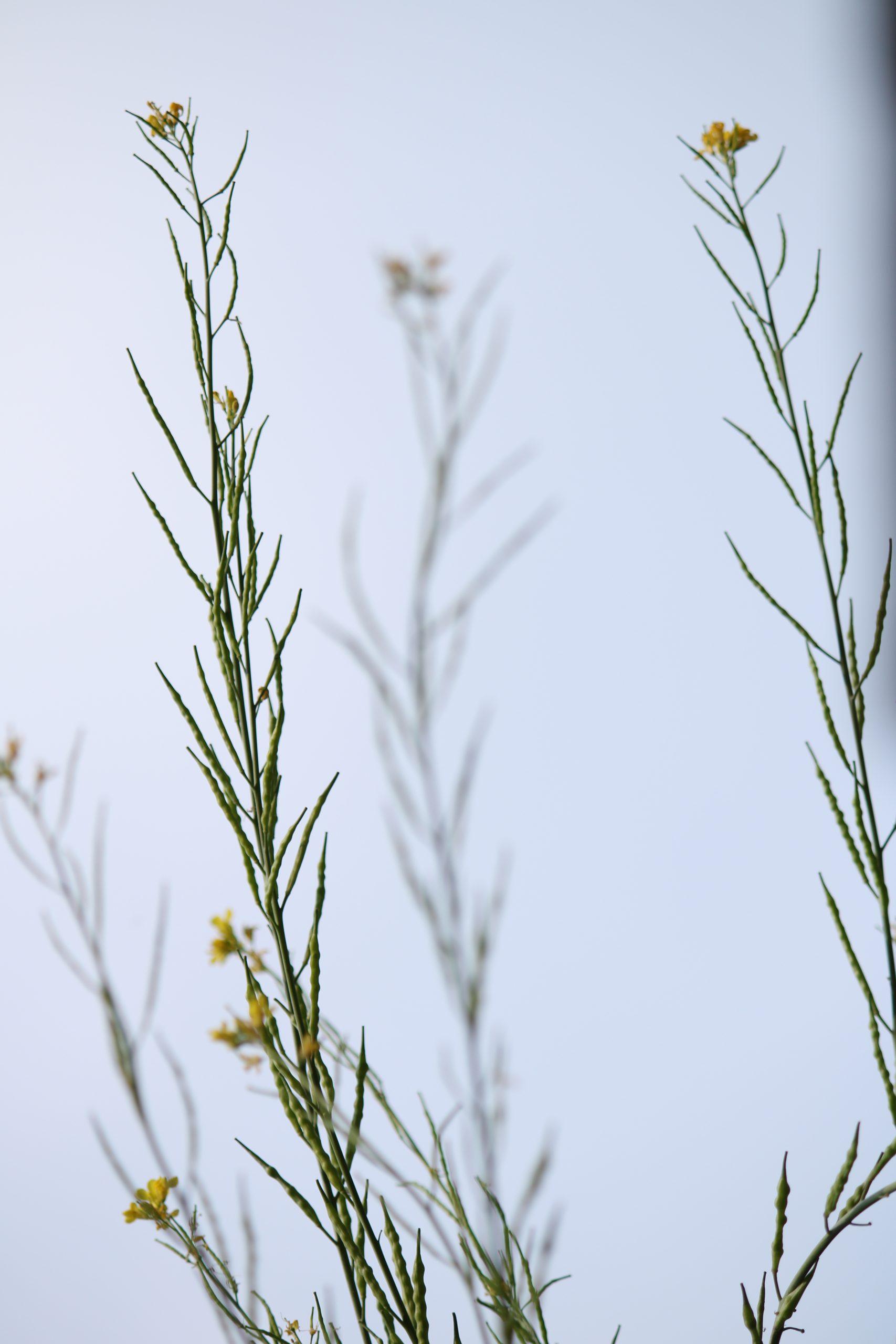 Mustard crop flower