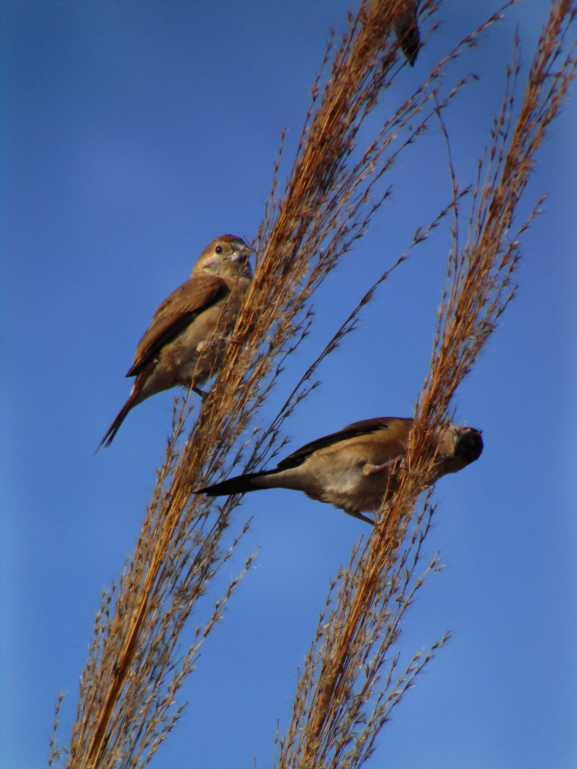 Sparrows sitting on a dried hay