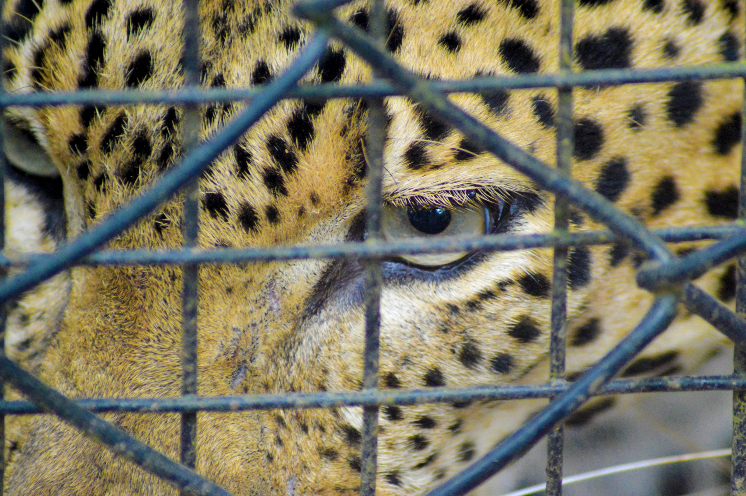 A leopard in a cage