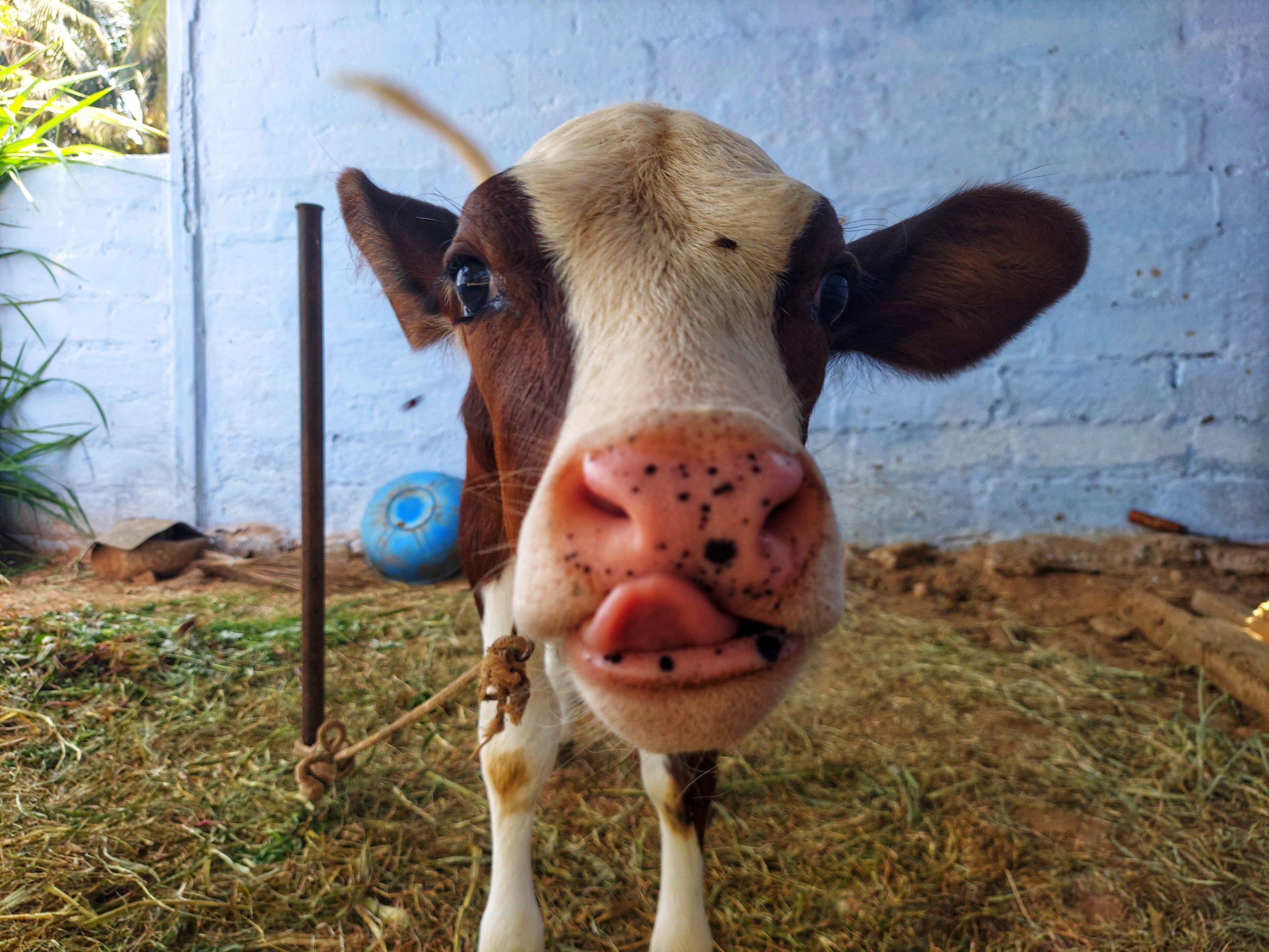 Calf of a cow