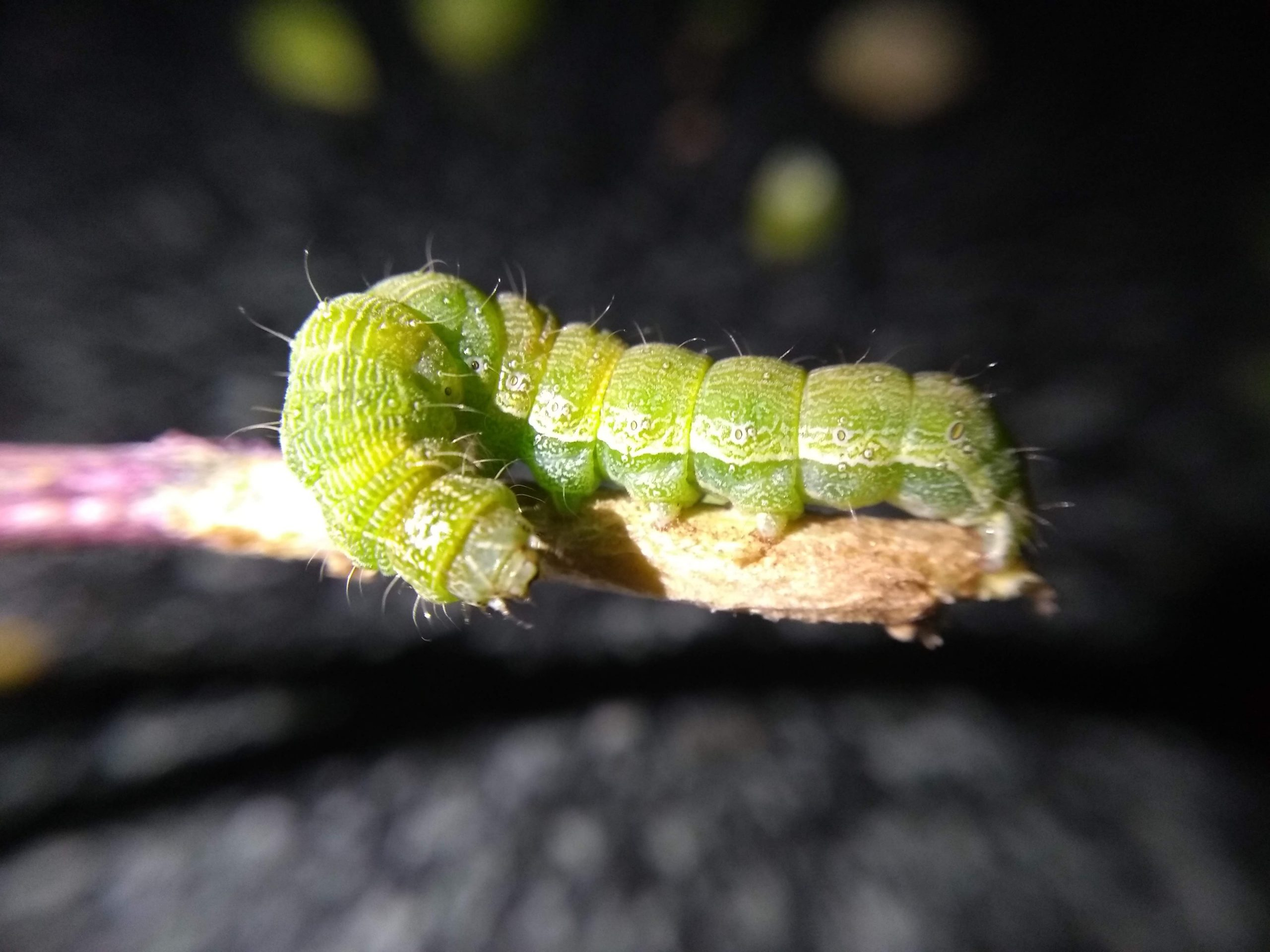 Caterpillar on wood stick