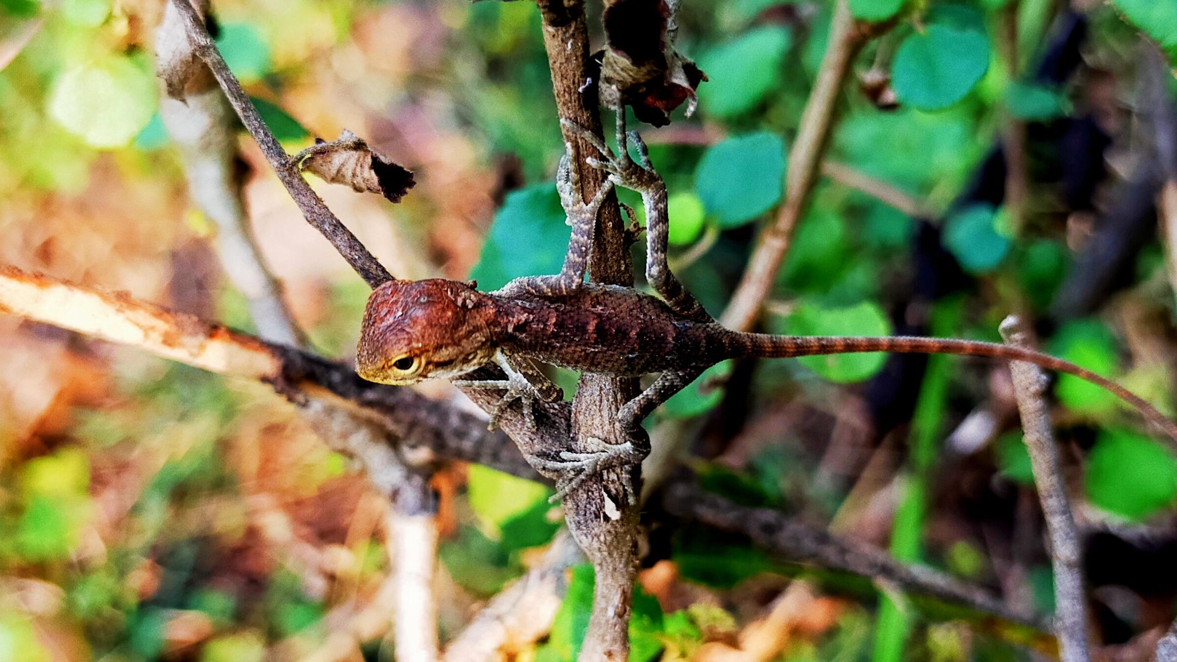 Chameleon on plant stem