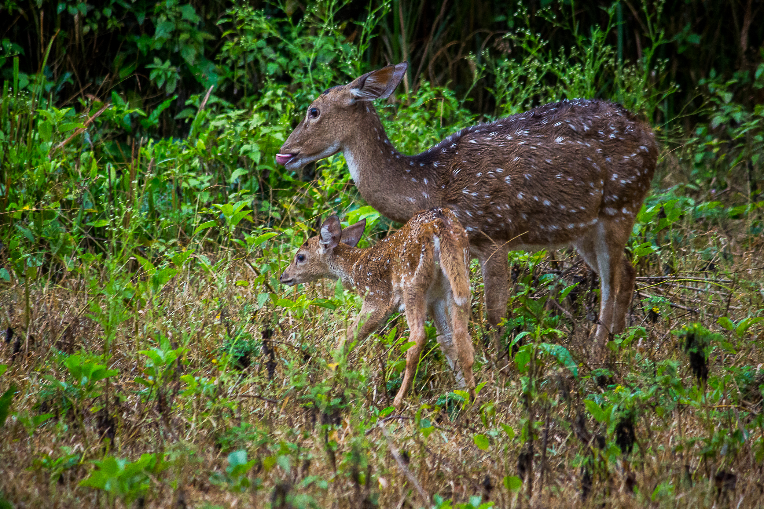 Chital Deer in the forest
