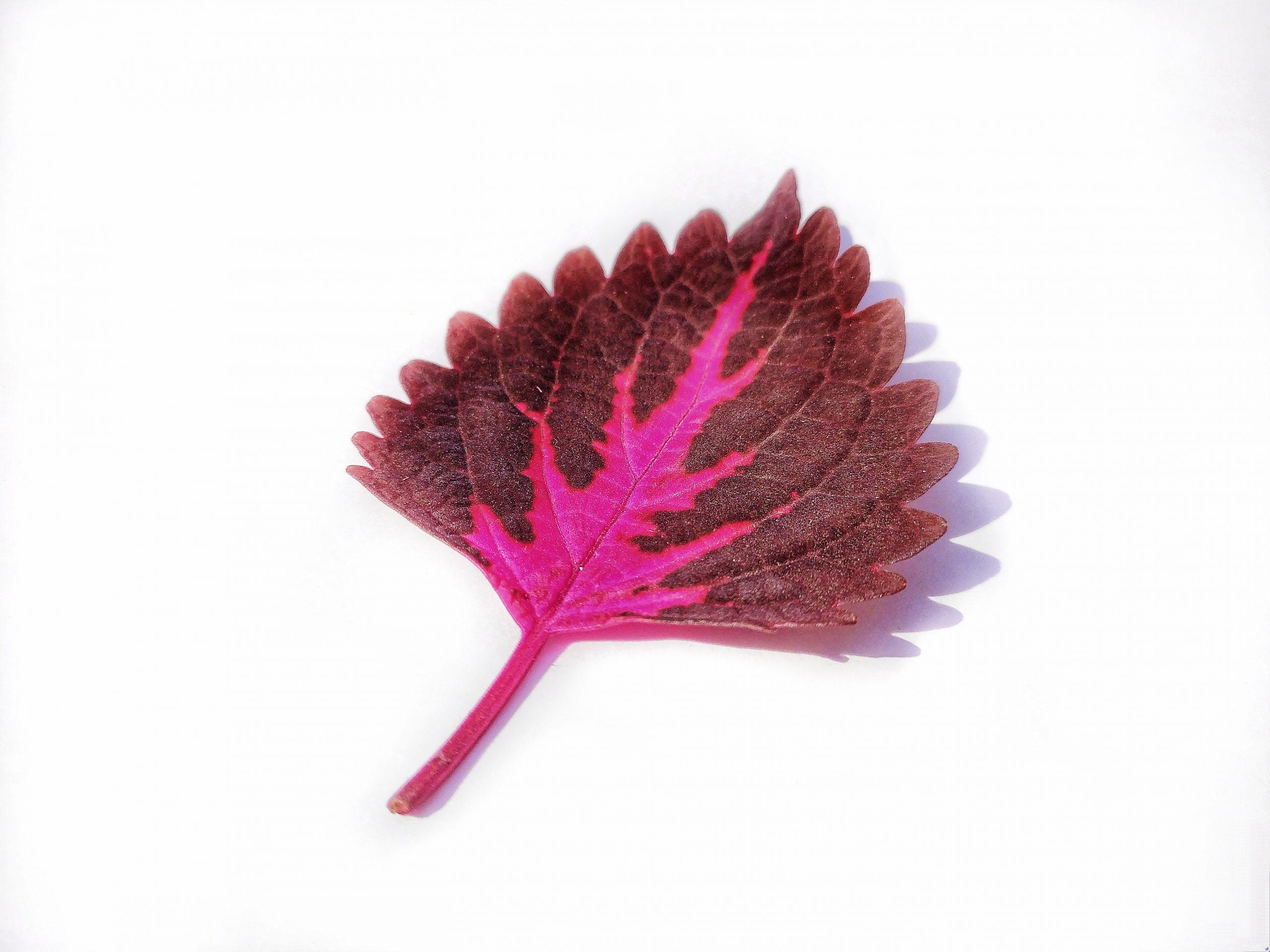 Coleus plant leaf