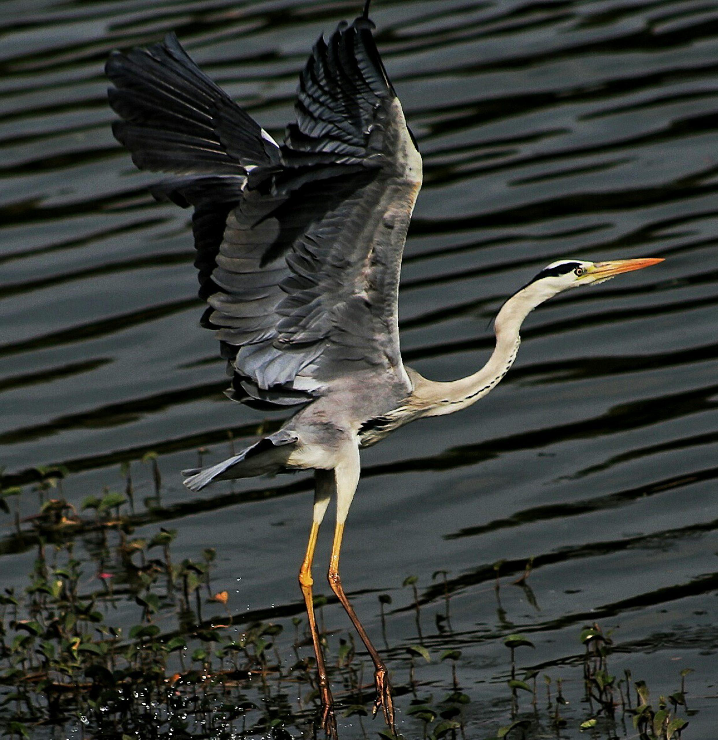 A crane bird ready to fly