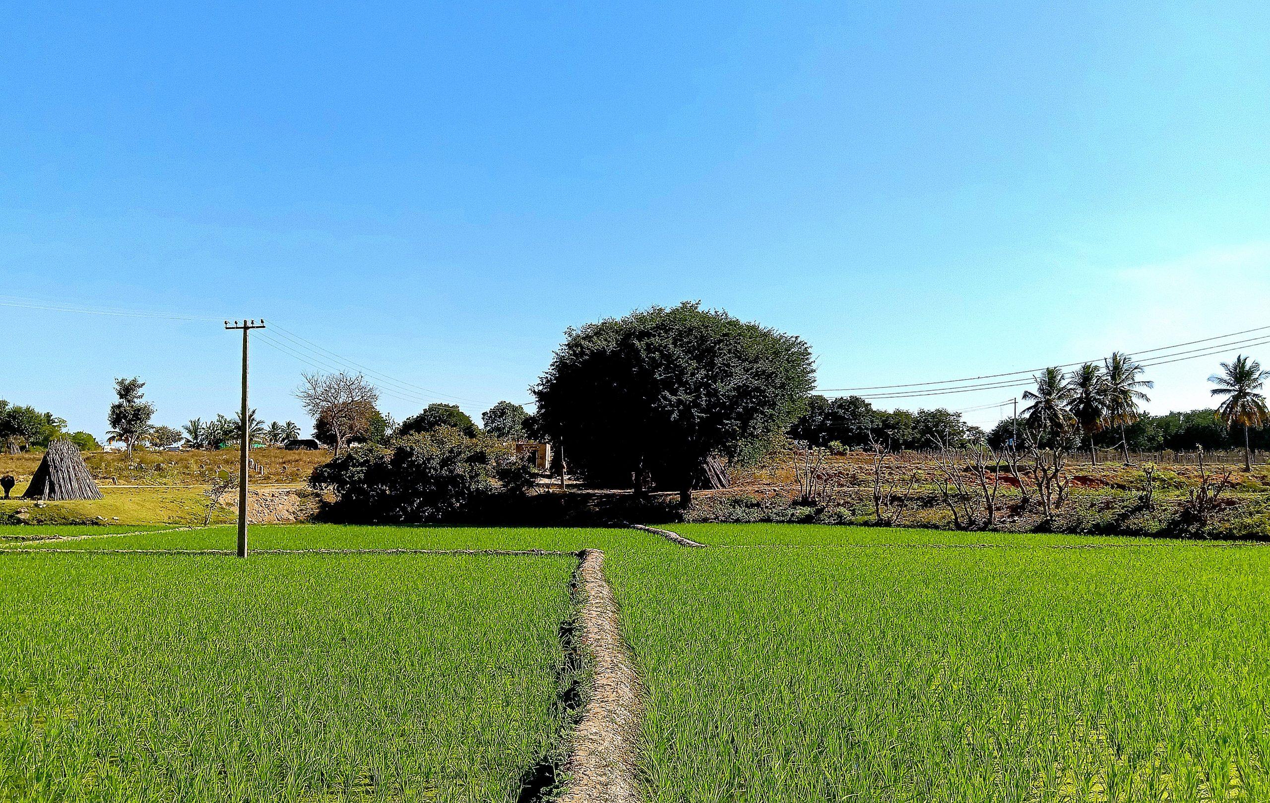 Crop in farm