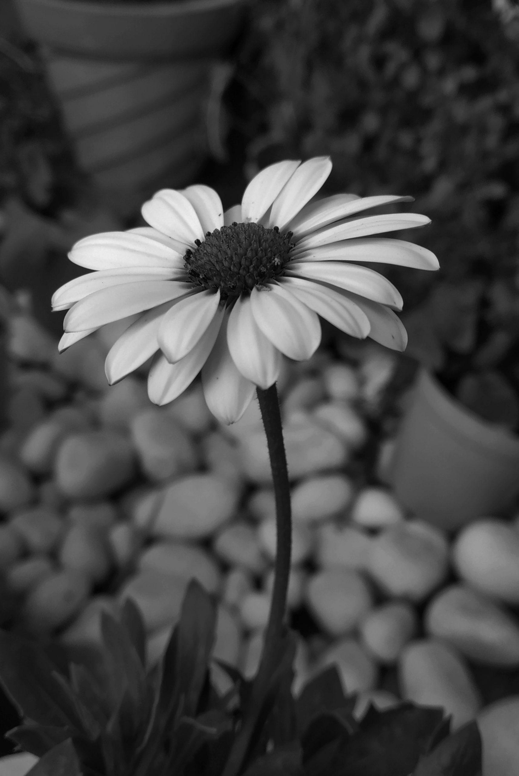 Daisy flower portrait
