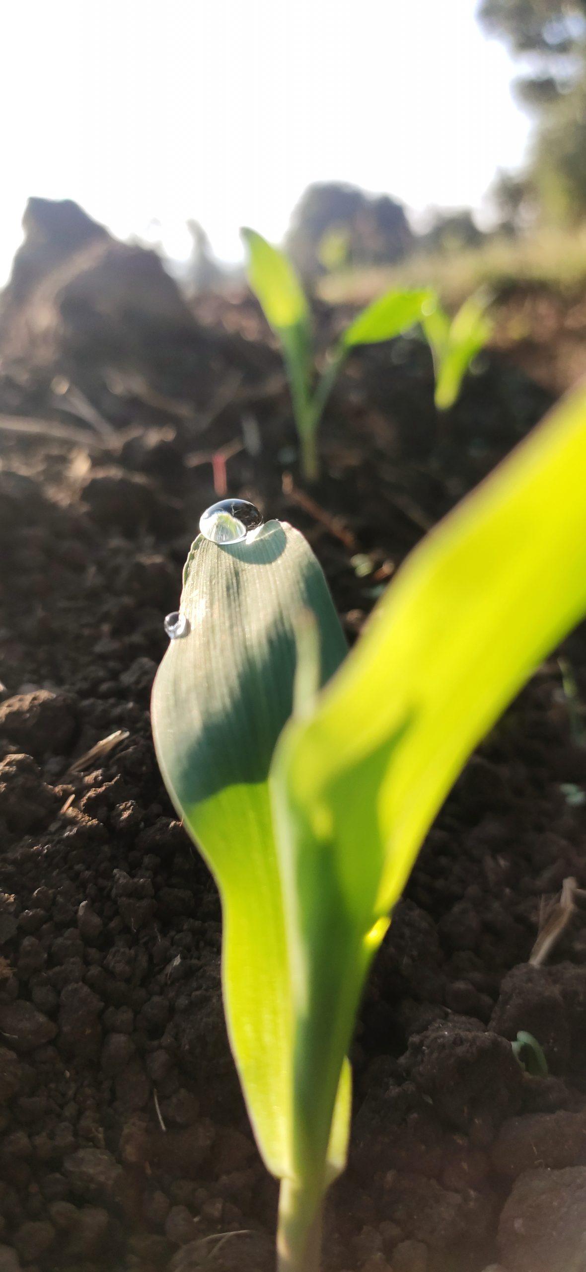 Dew drop on crop leaf