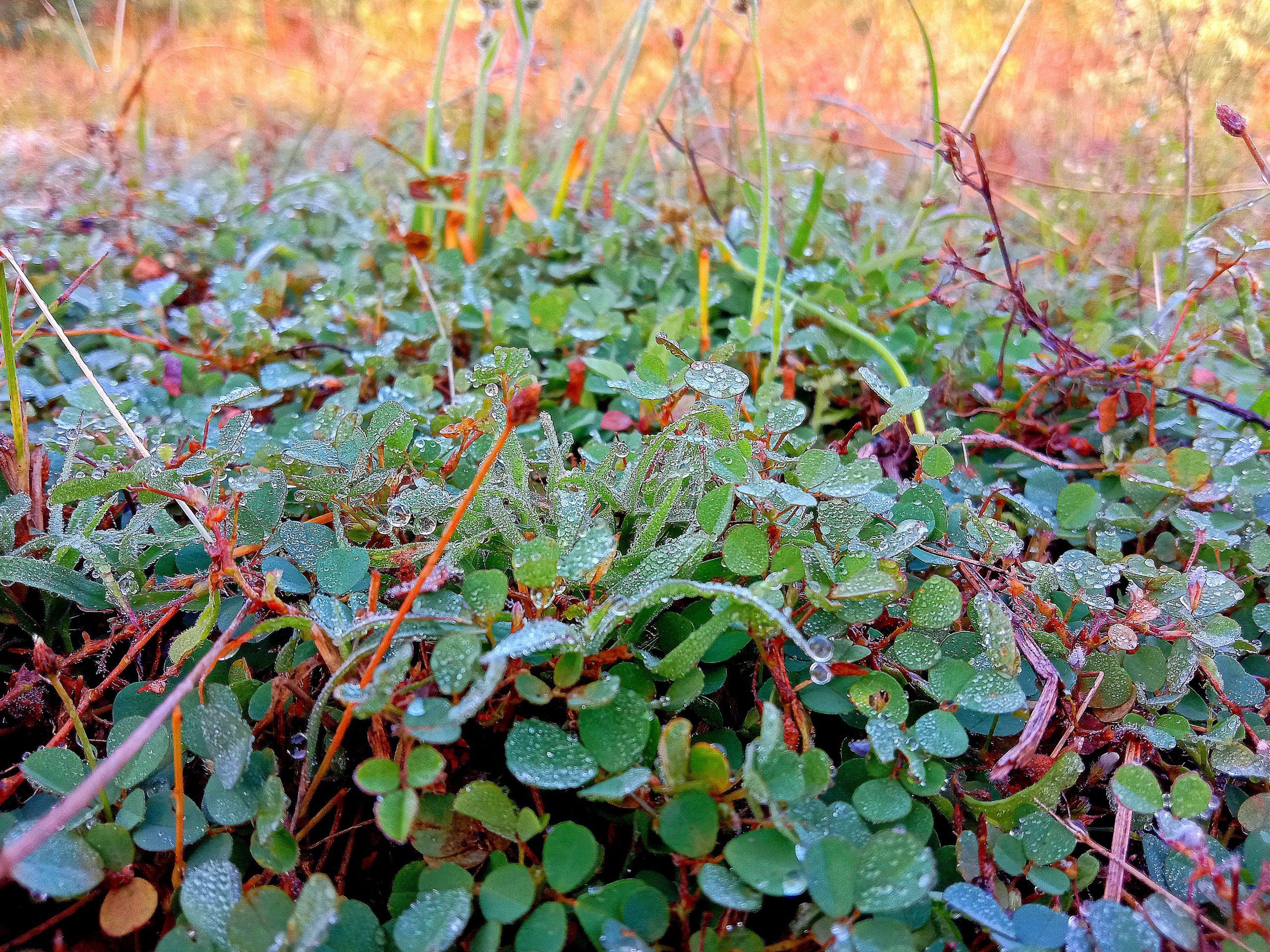 Dew on grass in farm