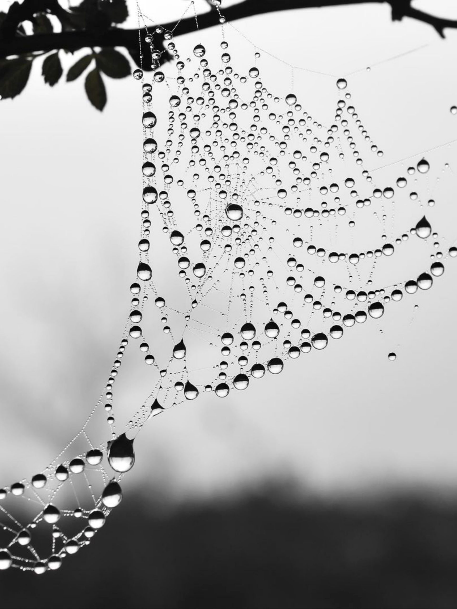 Drops on spider web