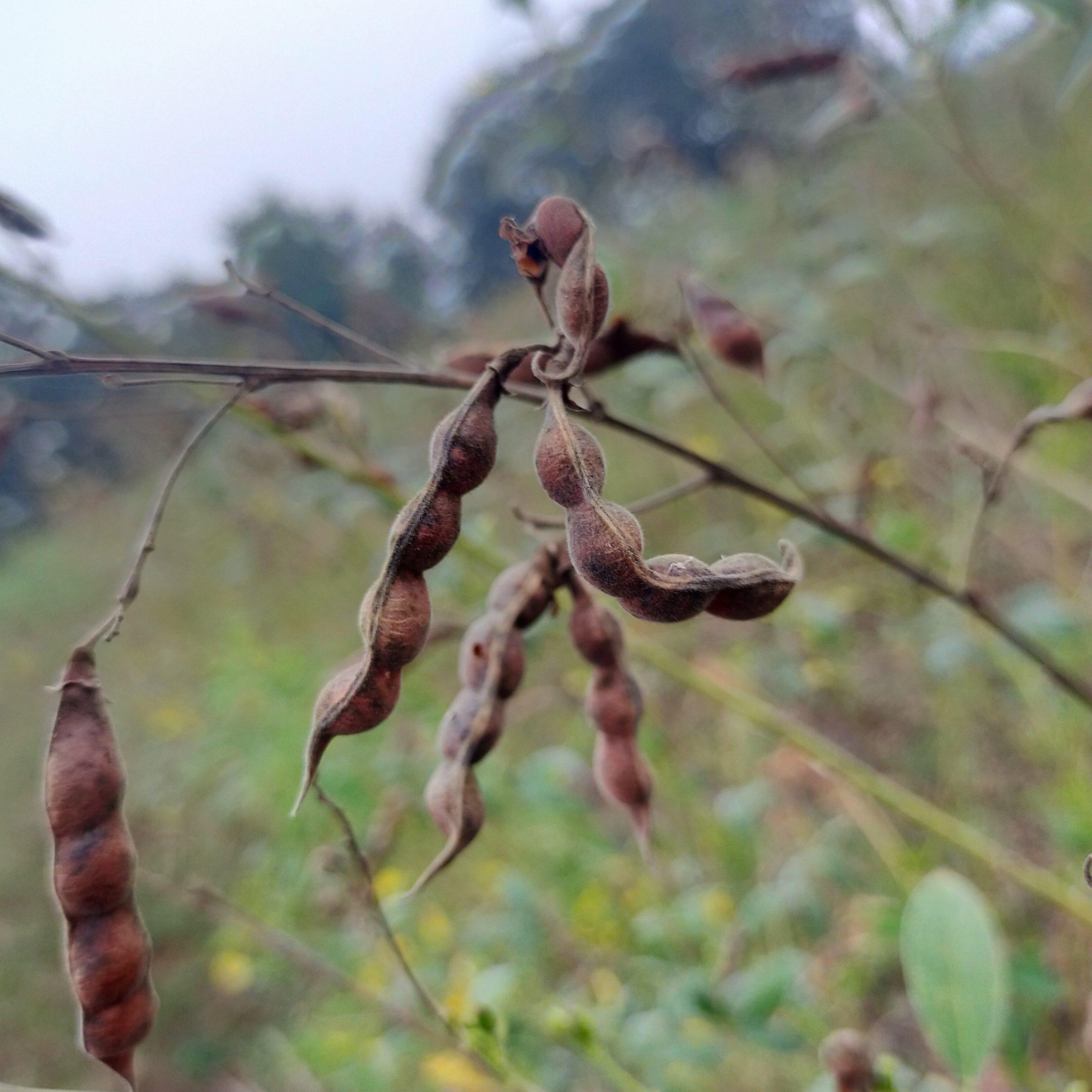 Dry bean plant