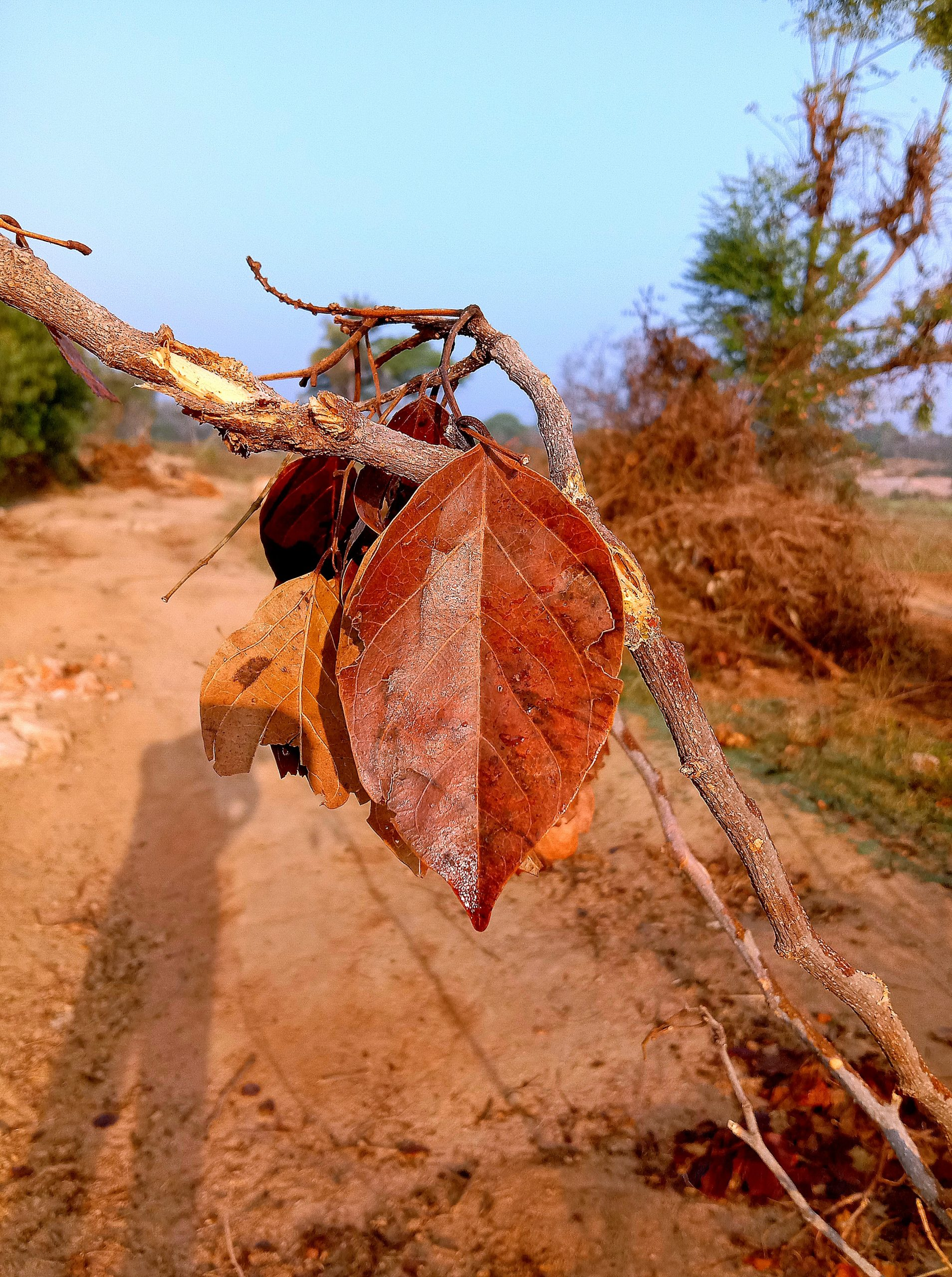 Dry leaf on plant in farm