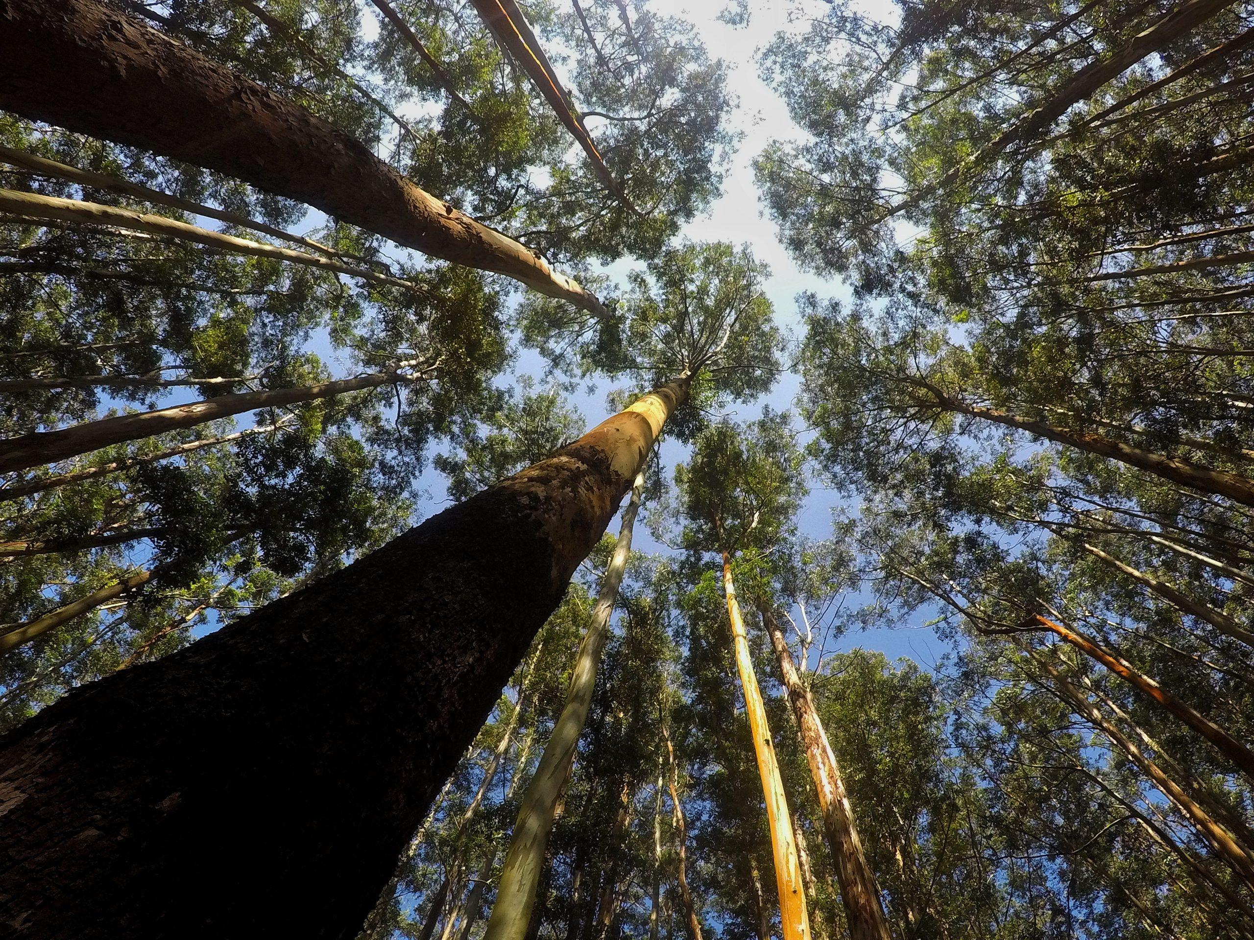 Eucalyptus trees in Kerala