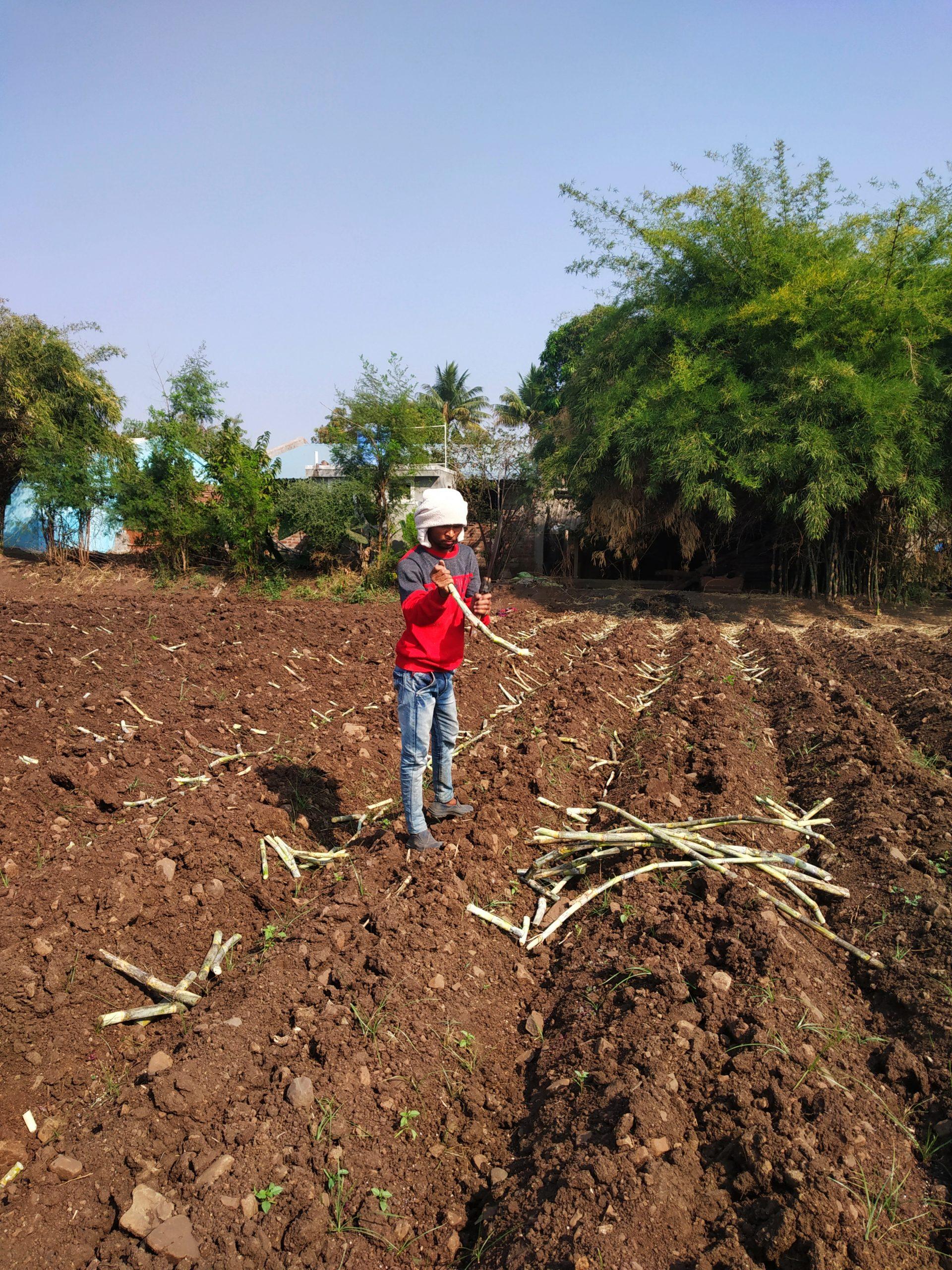 Farmer plowing Sugar cane in the field