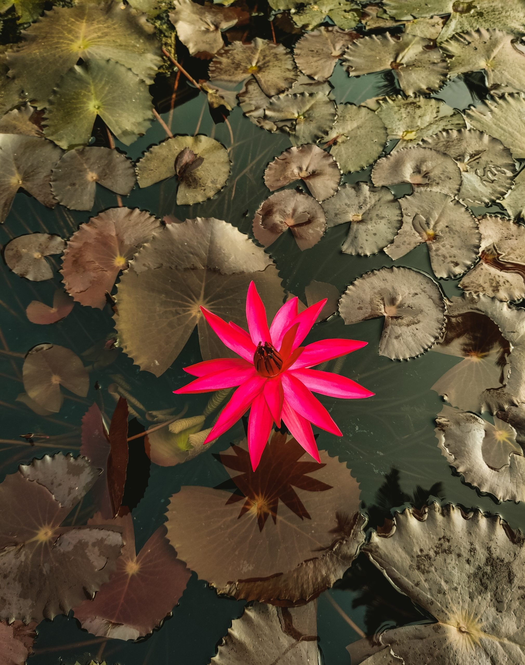 Flower in the pond