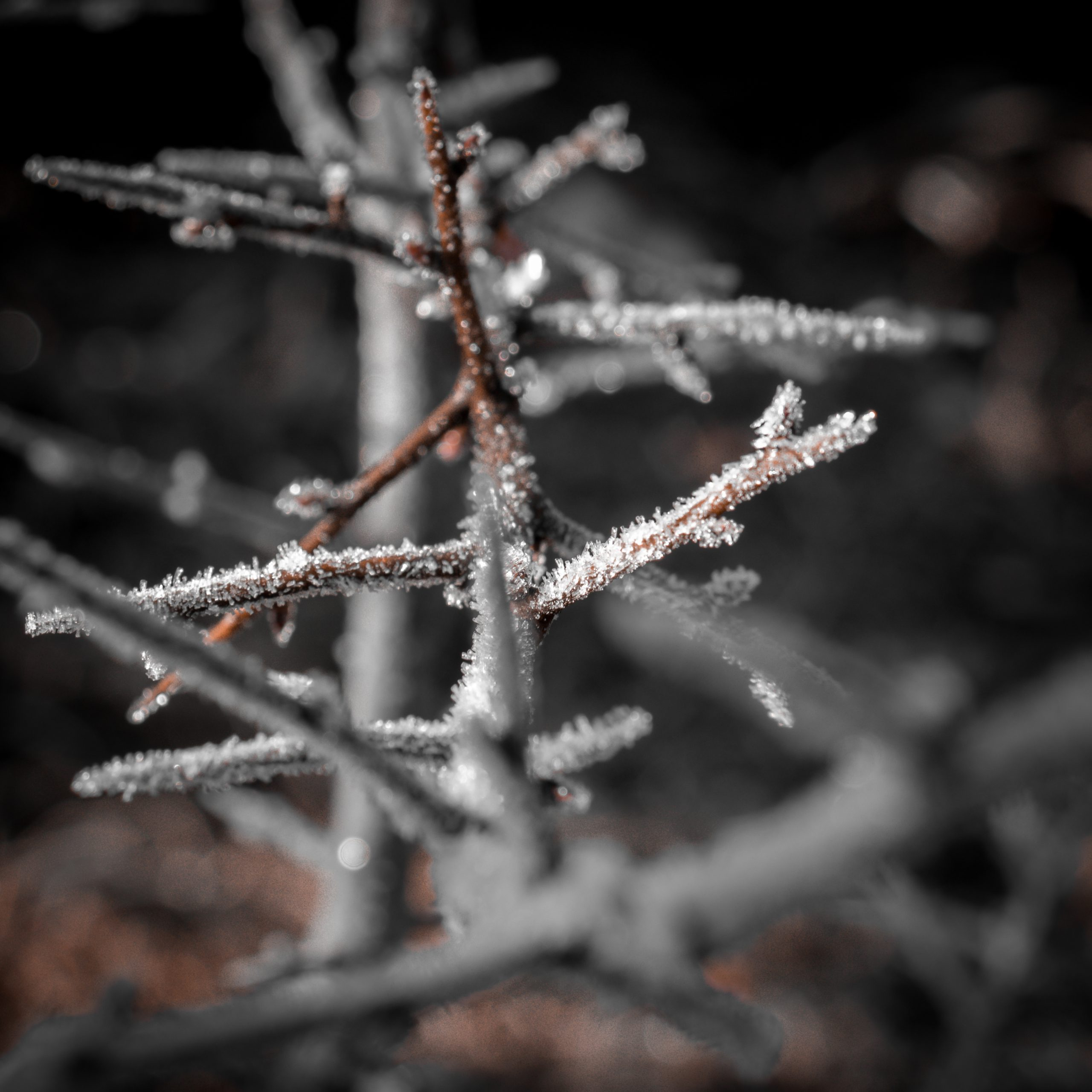 Frosted branch of a plant