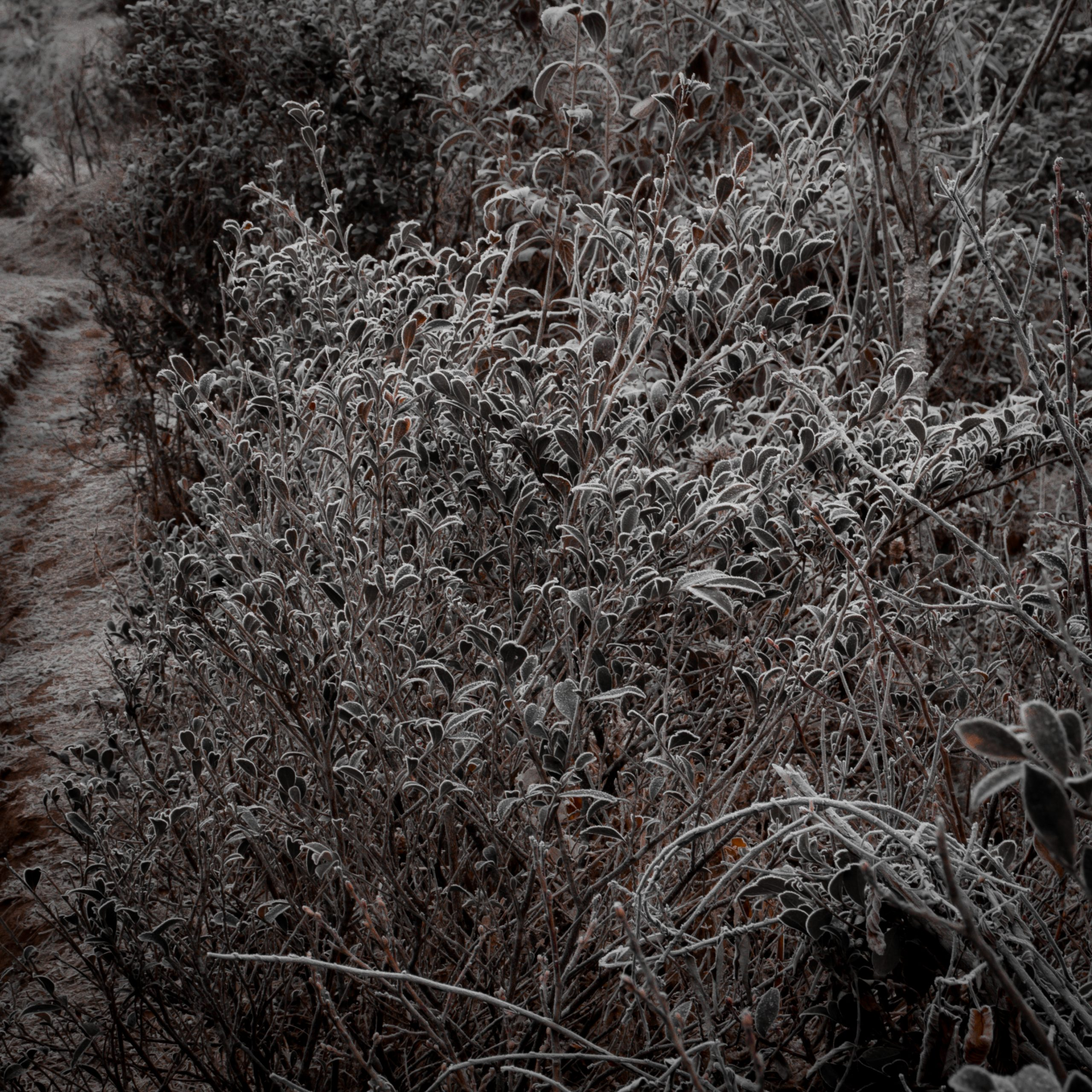 Frozen black and white bushes