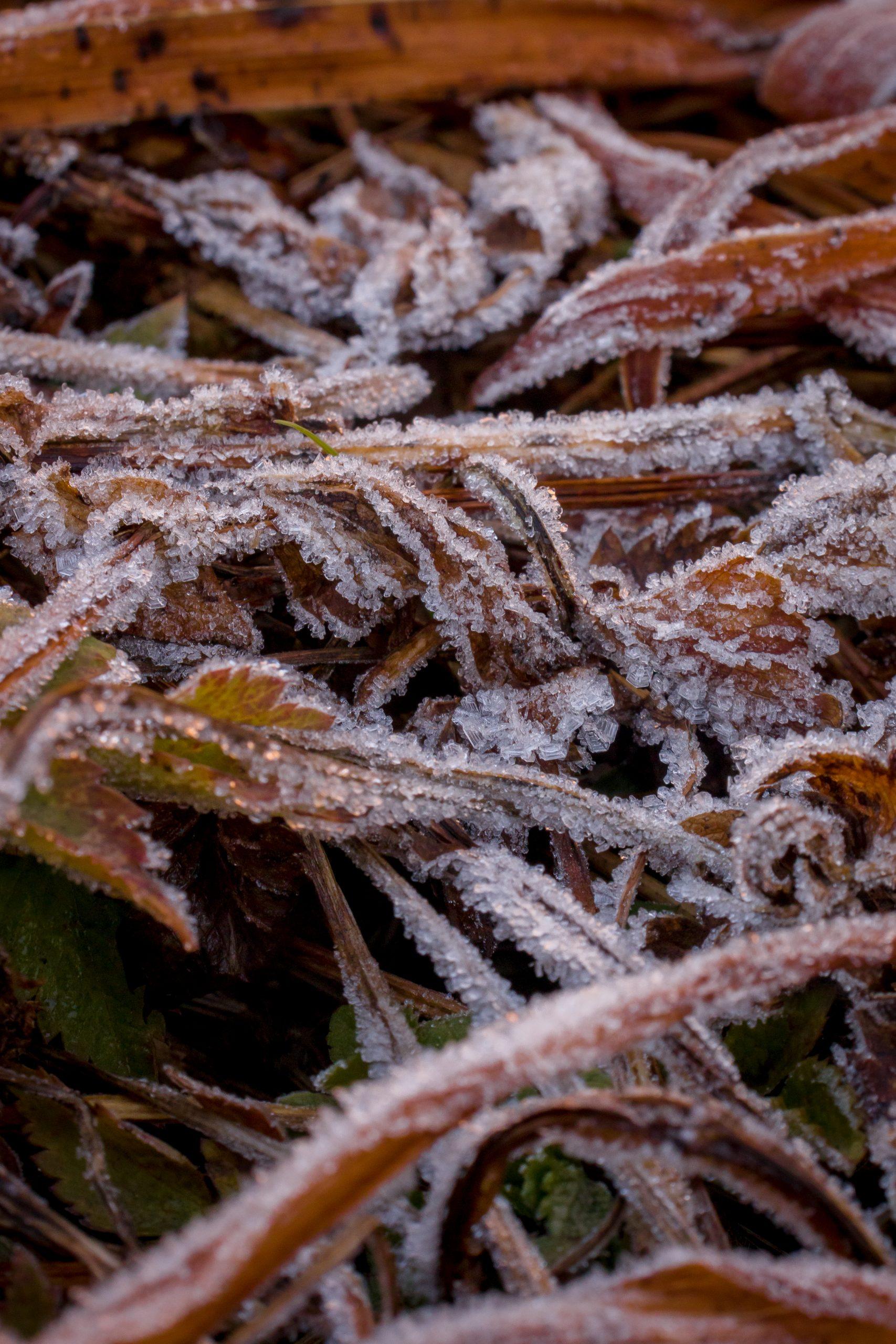 Frozen plant stem