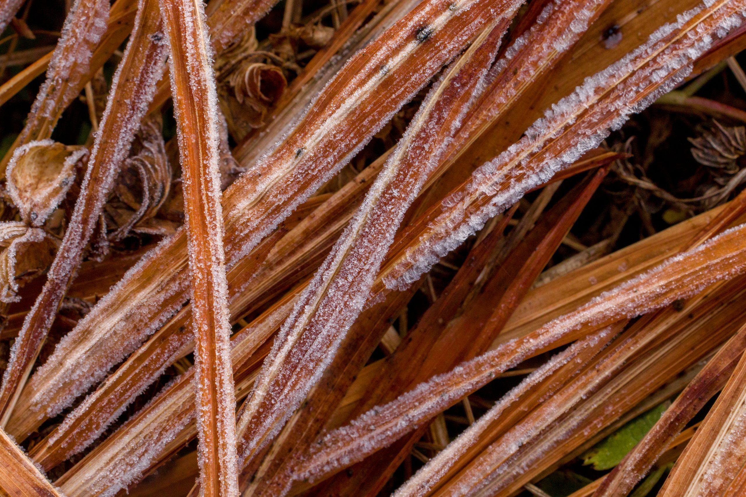 Frozen plant stems