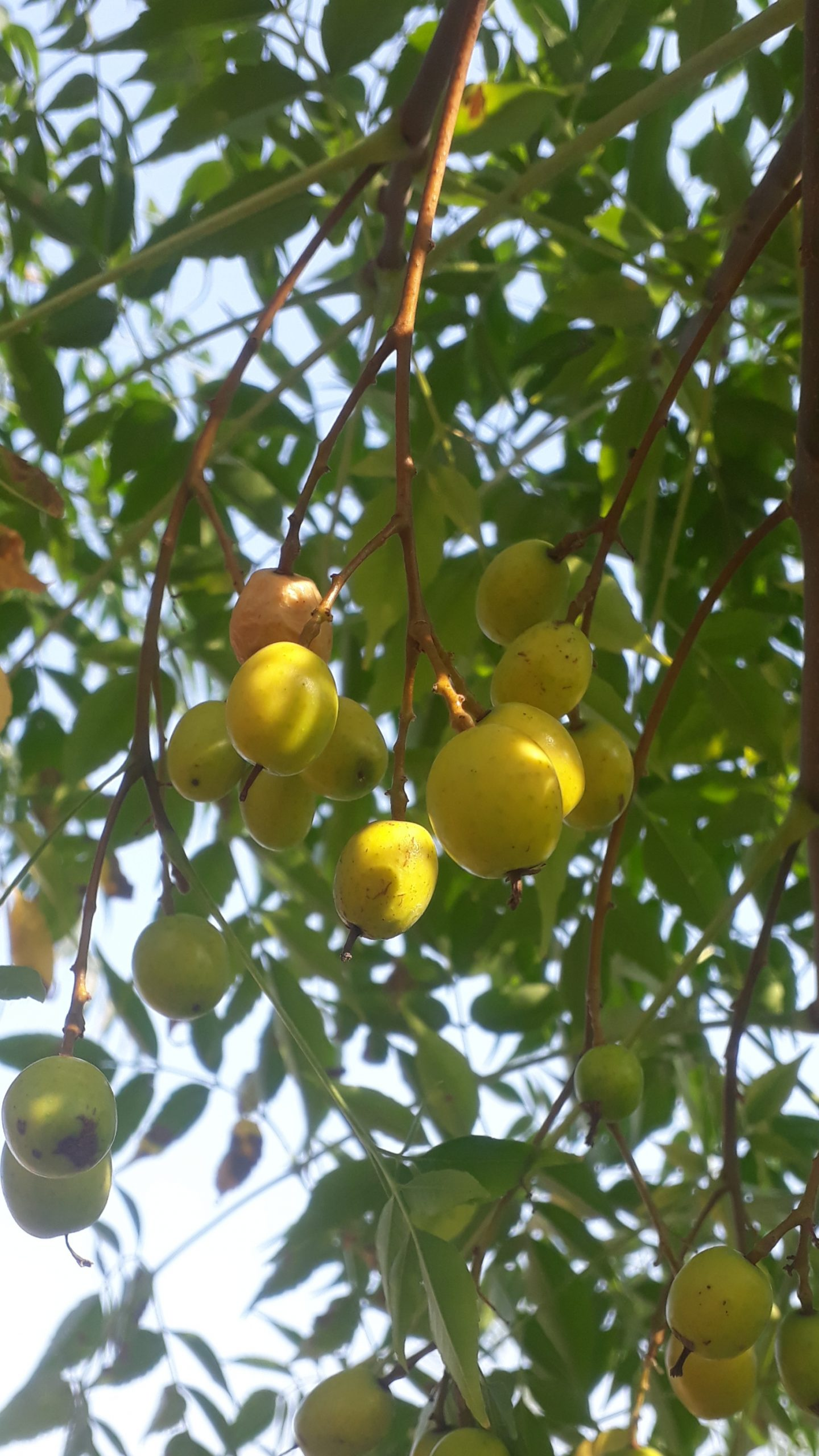 Fruits on tree