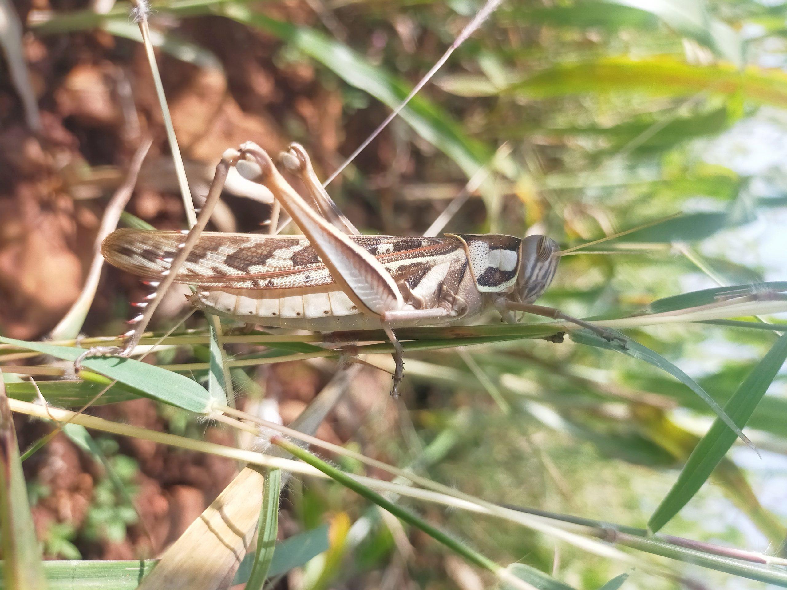 Grasshopper sitting on a thin leaf