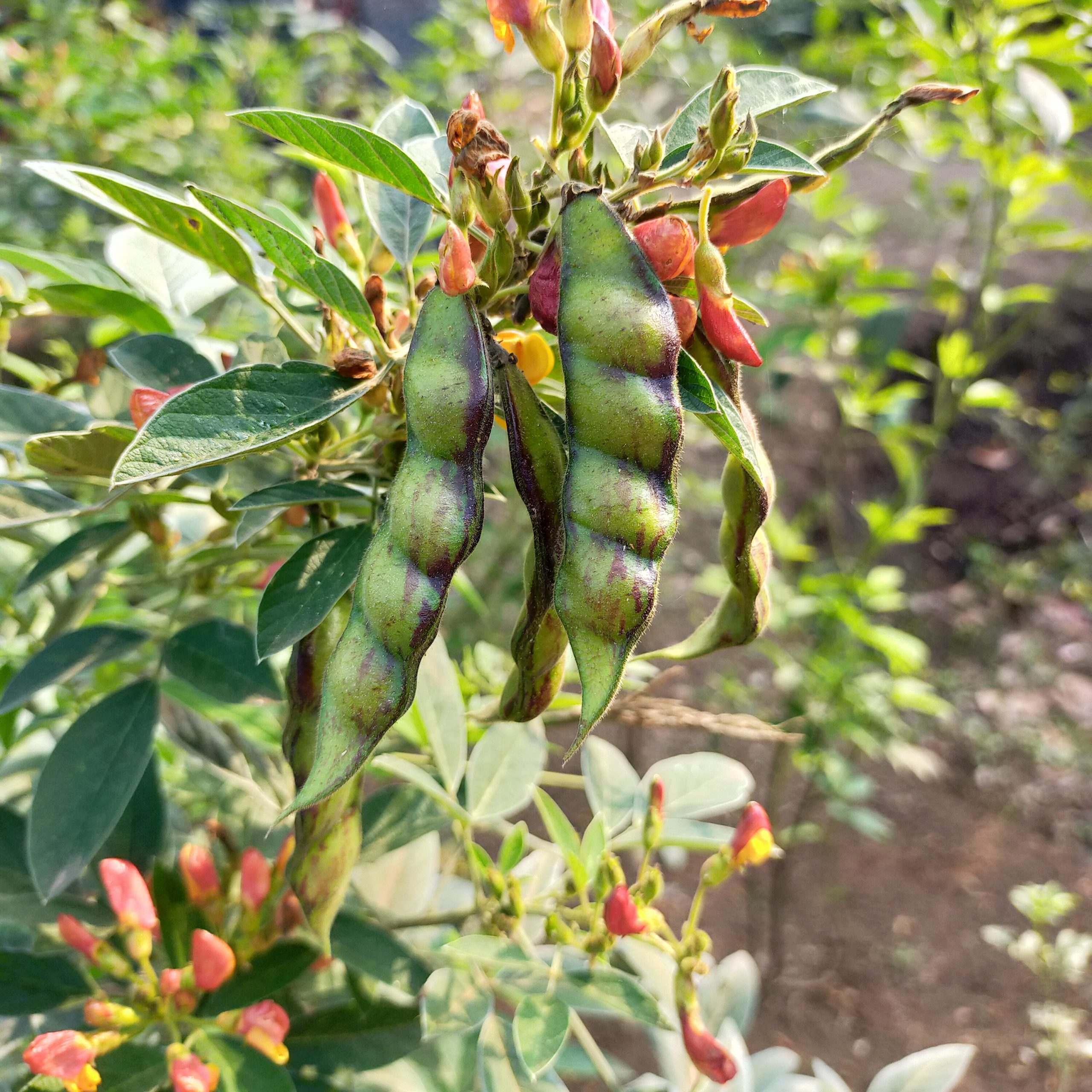 Green Bean vegetable on plant