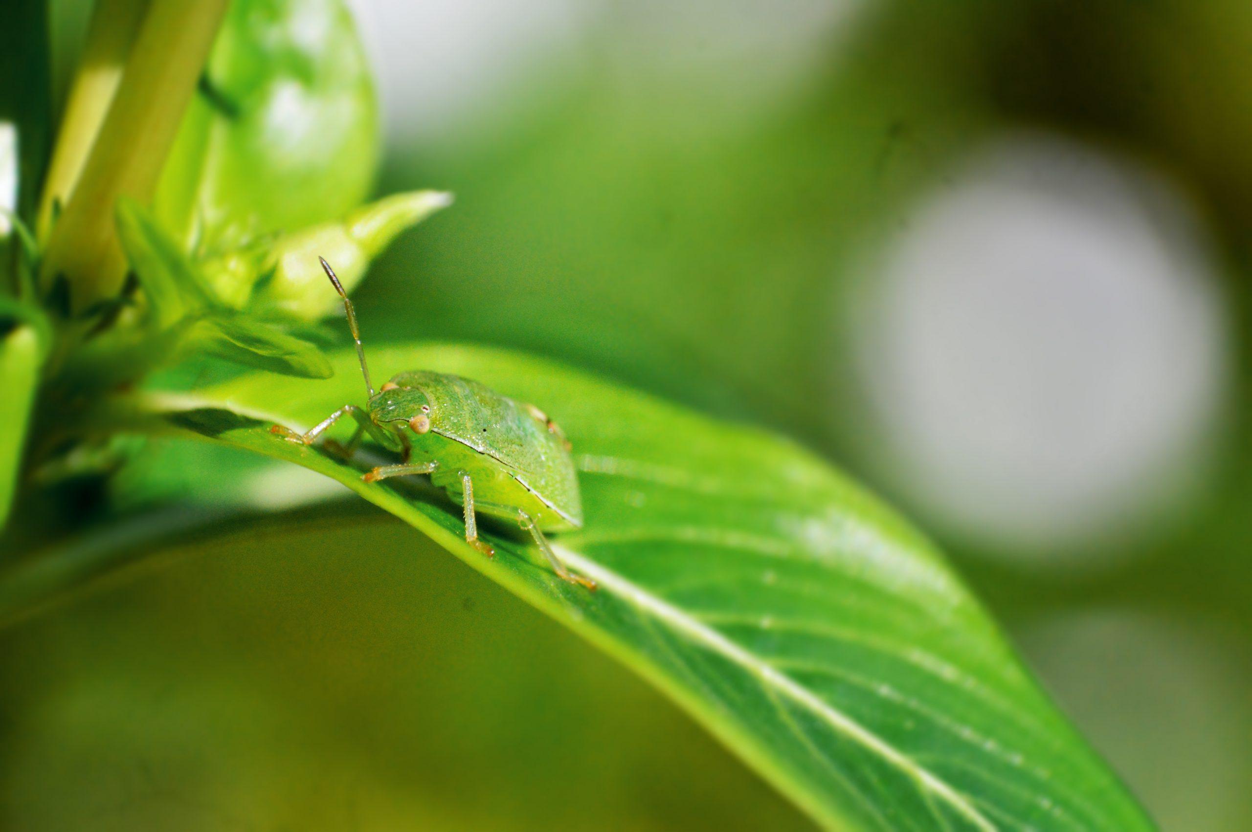 Green stink bug on plant leaf