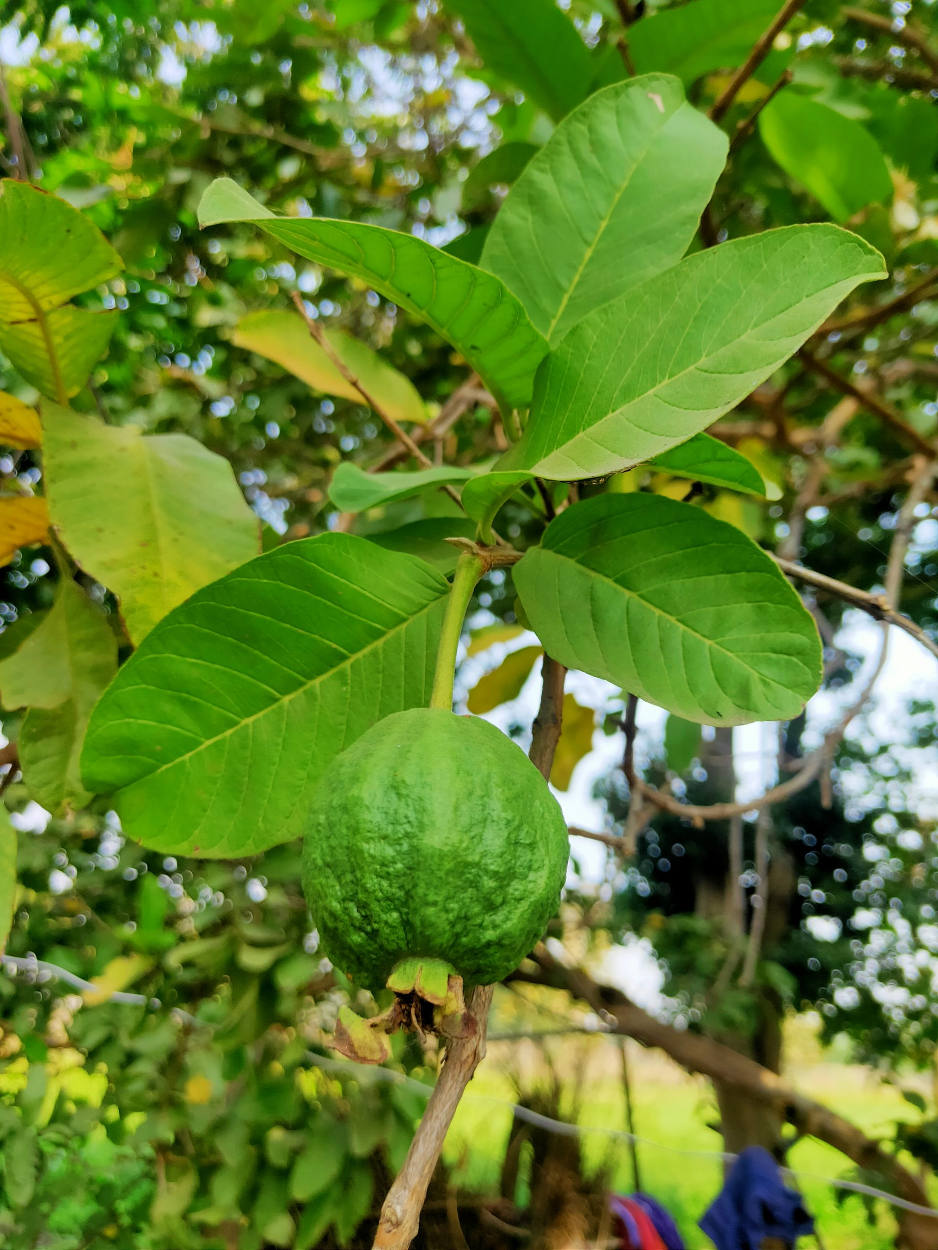 Guava fruit hanging on its tree