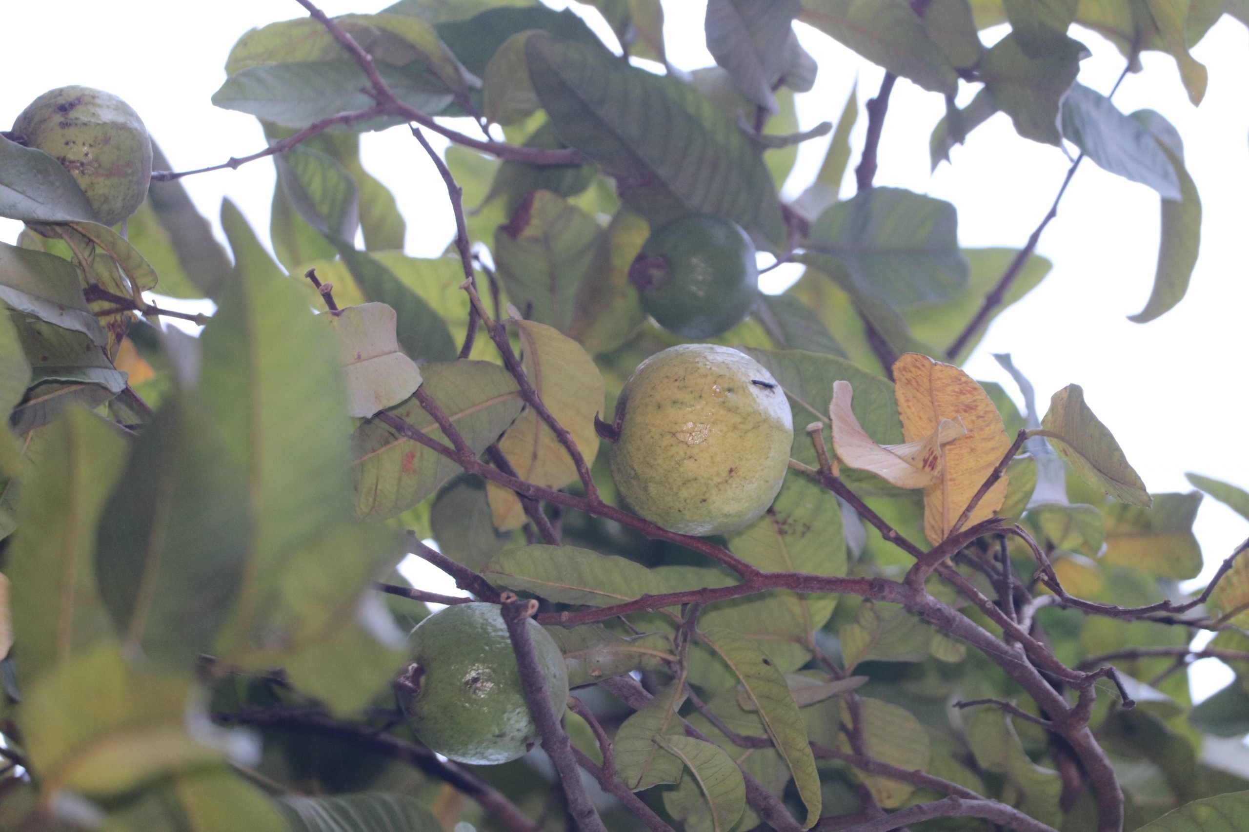 Guava on the tree