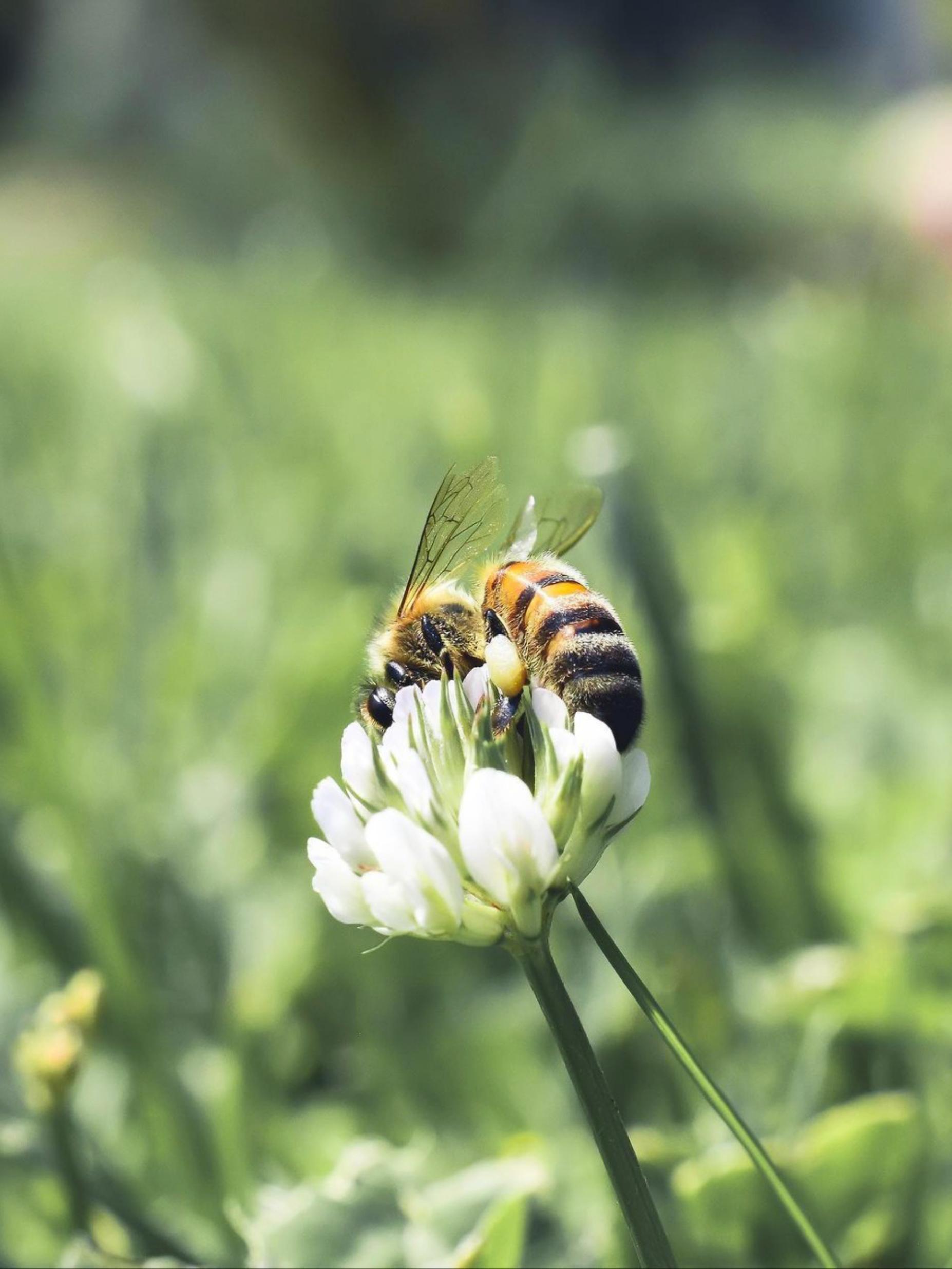 Honeybees on a flower