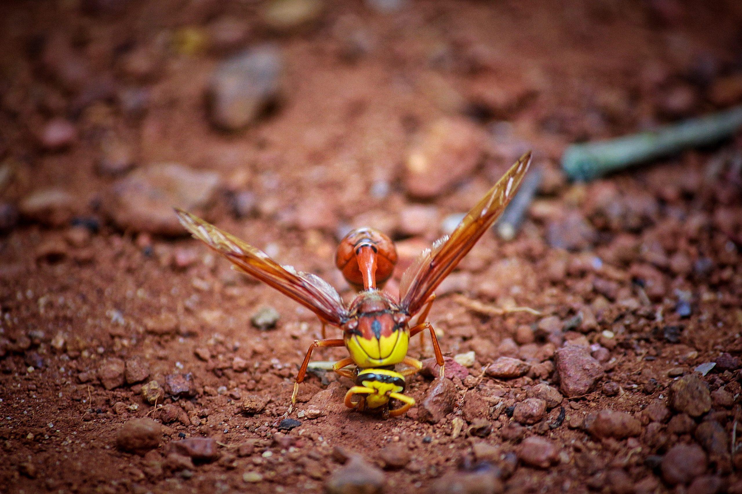 Hornet bee on ground