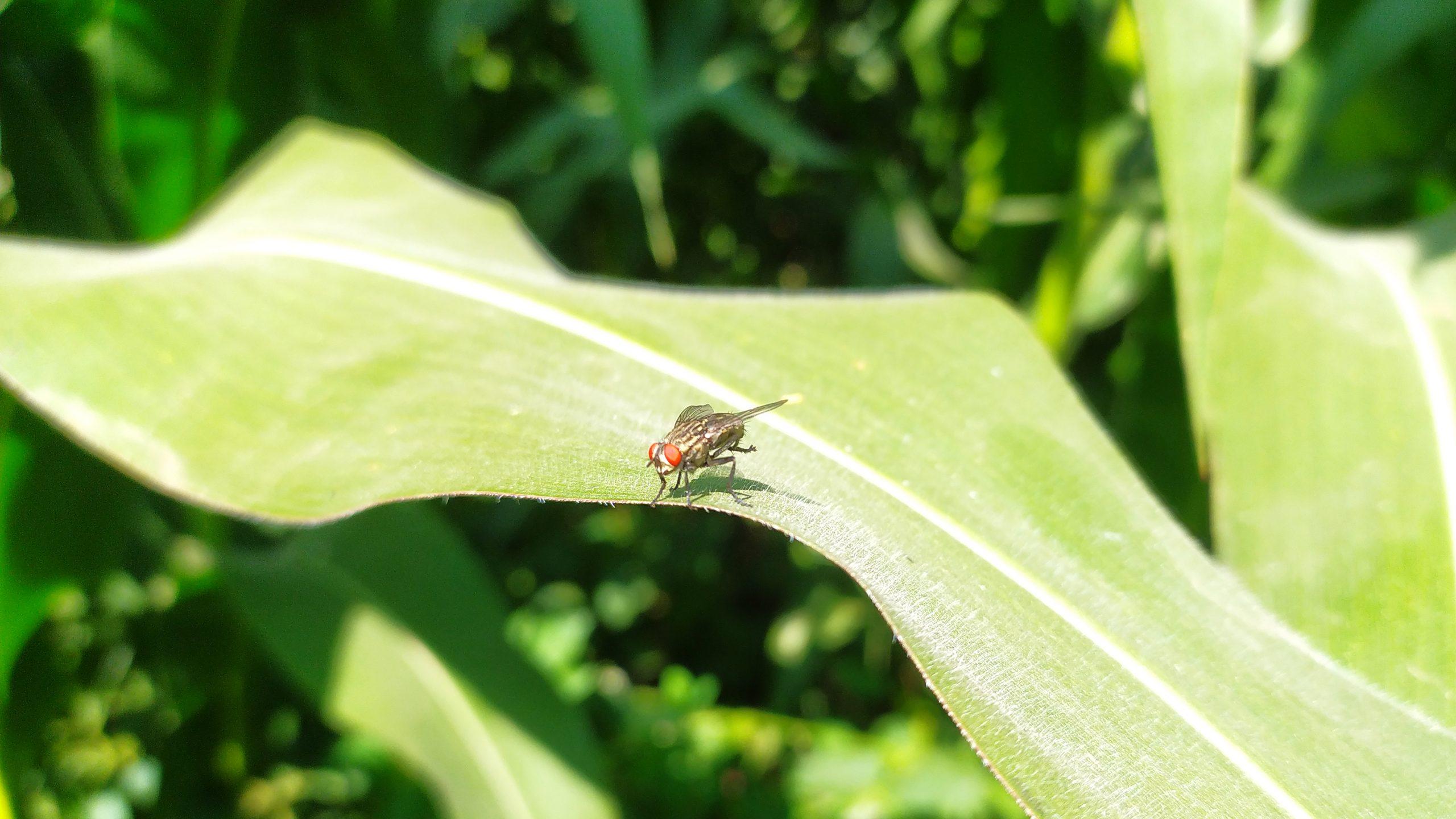 Housefly on plant leaf
