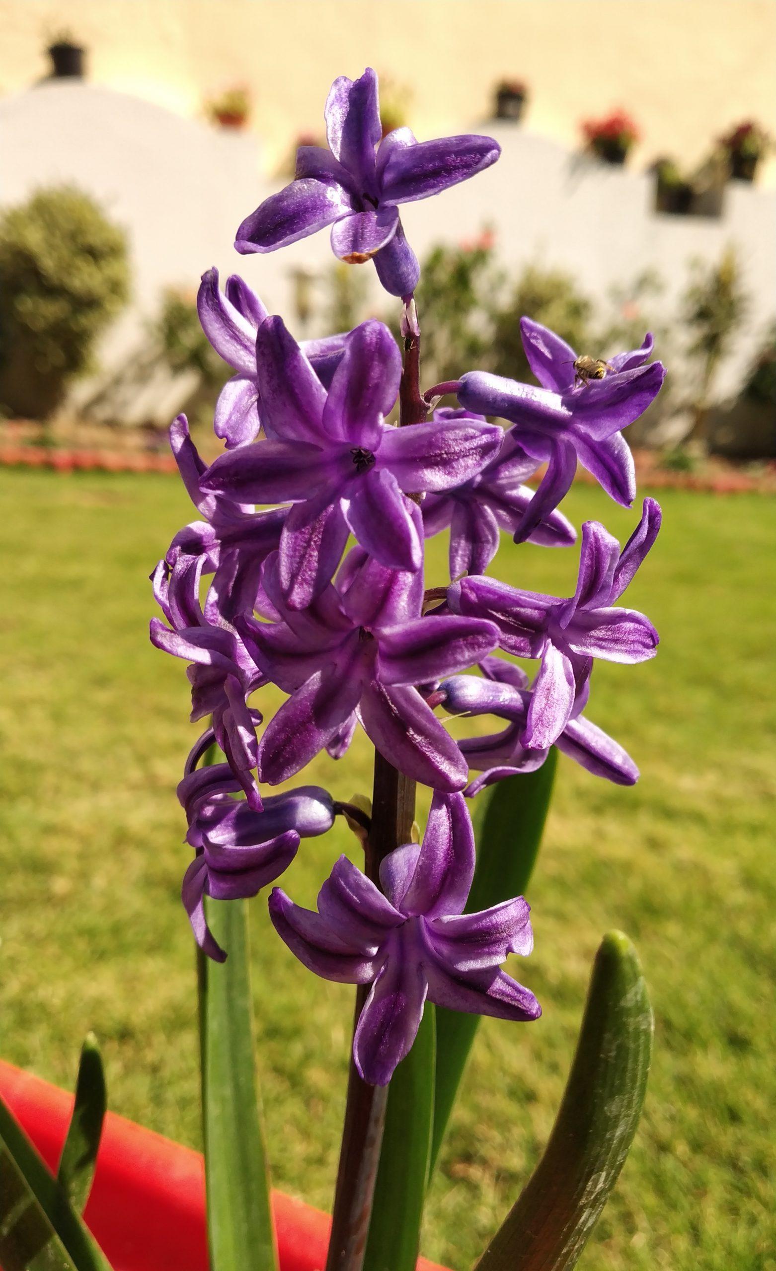 Hyacinth flower on plant