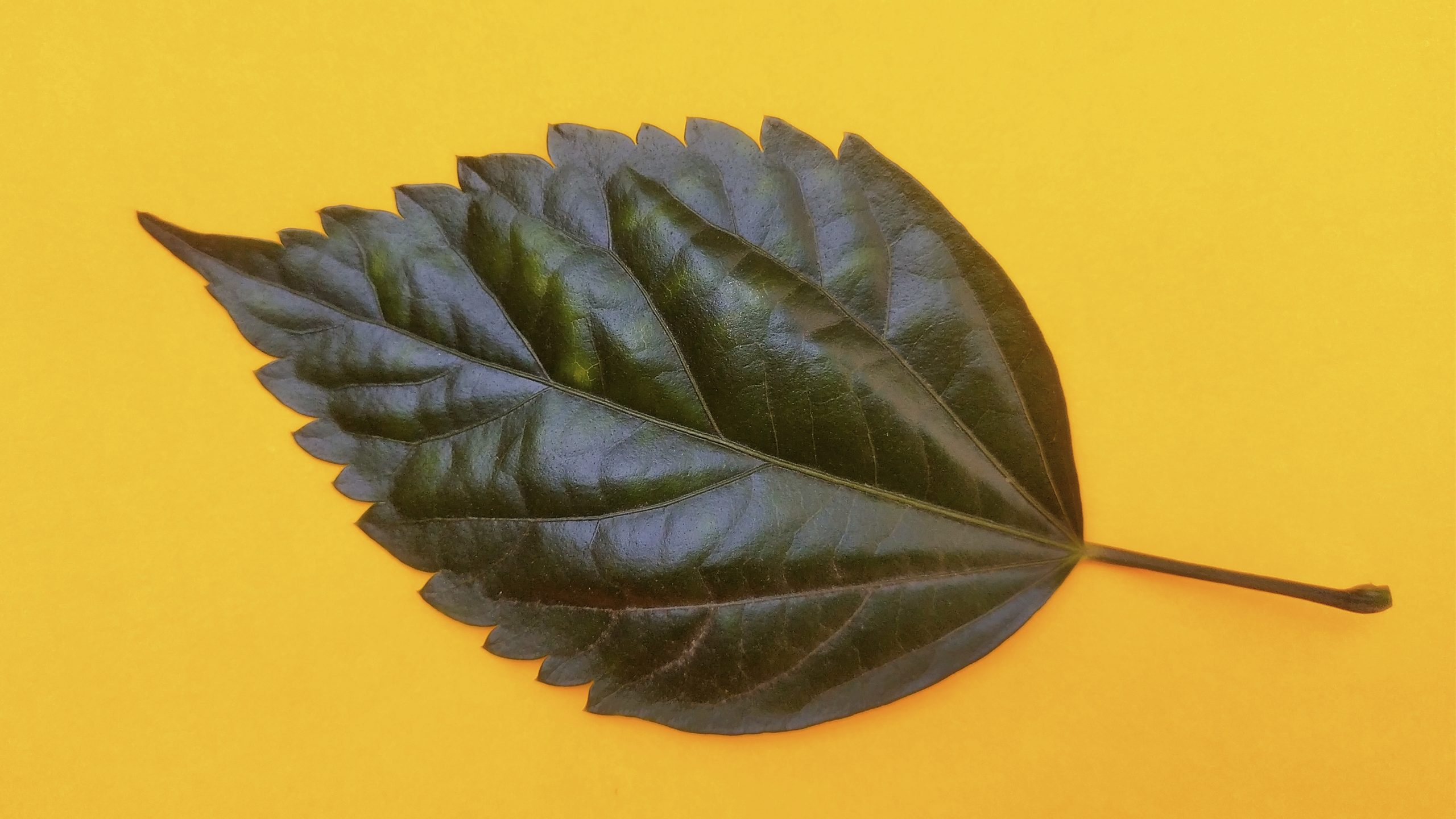 Leaf with yellow background
