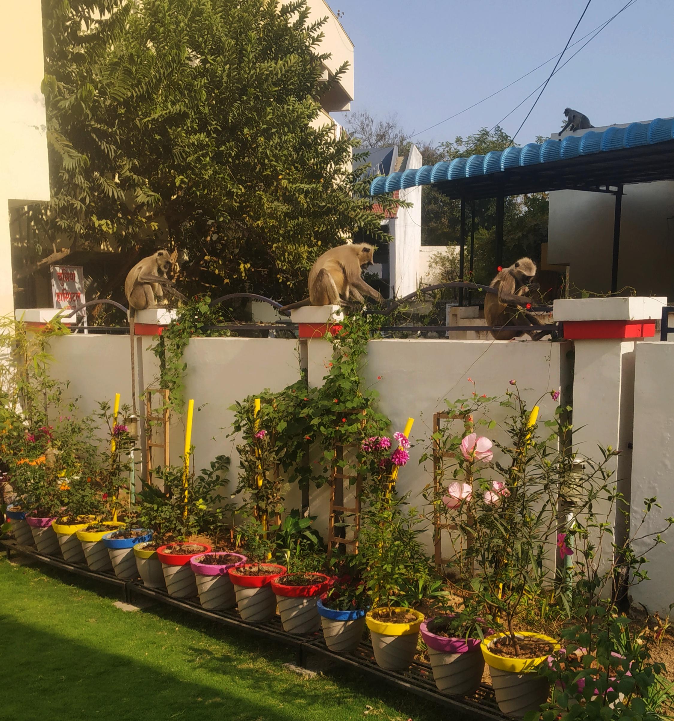 Monkeys near flower pots