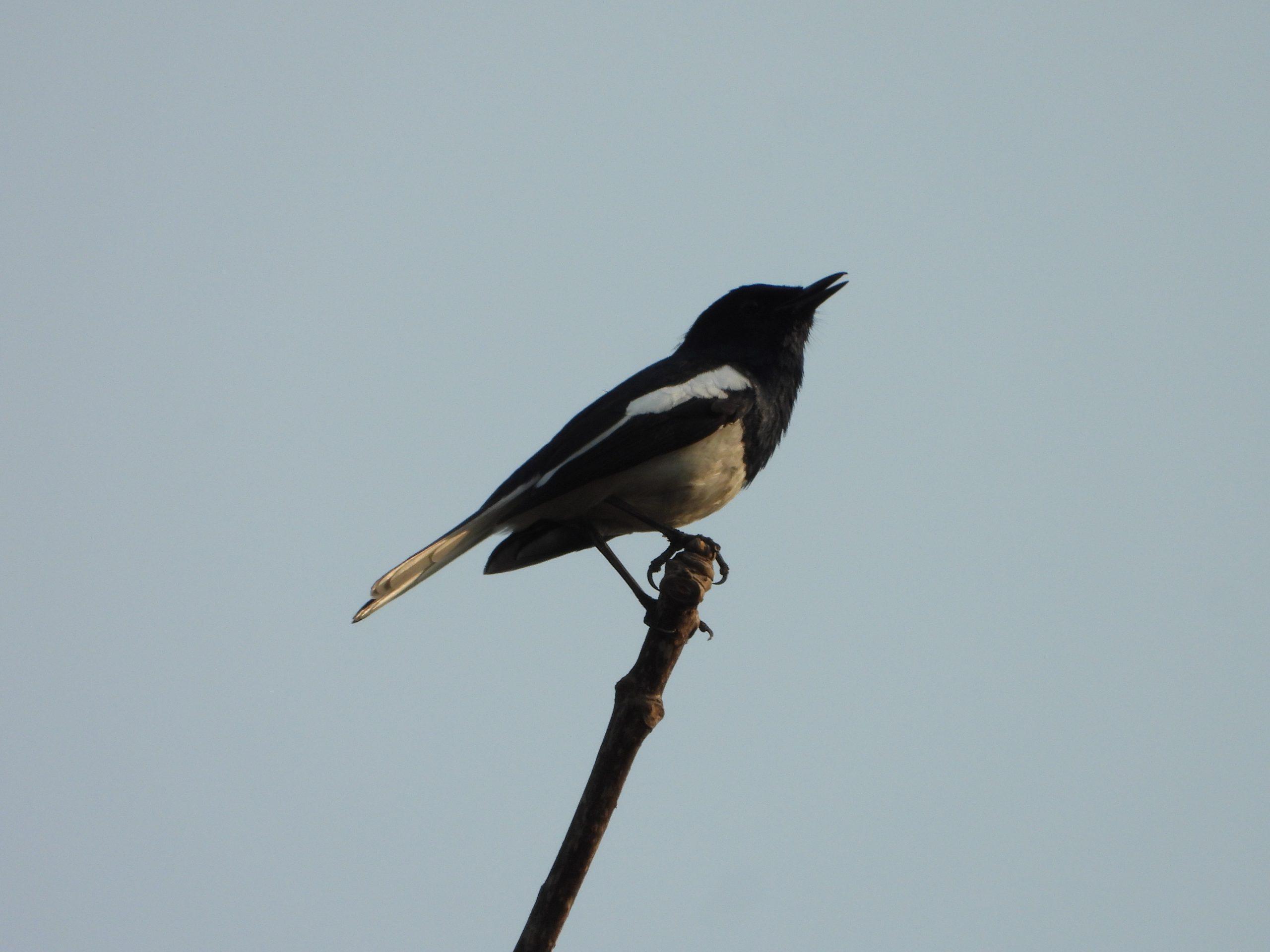 Oriental magpie robin bird