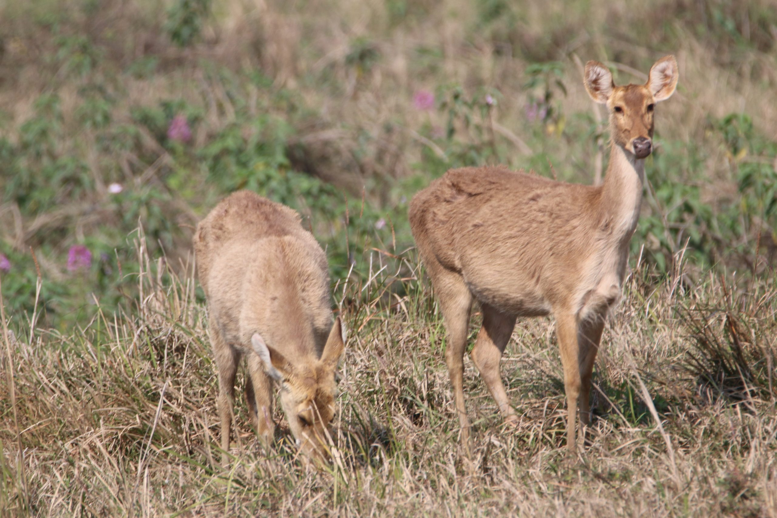Pair of Deer in grass field