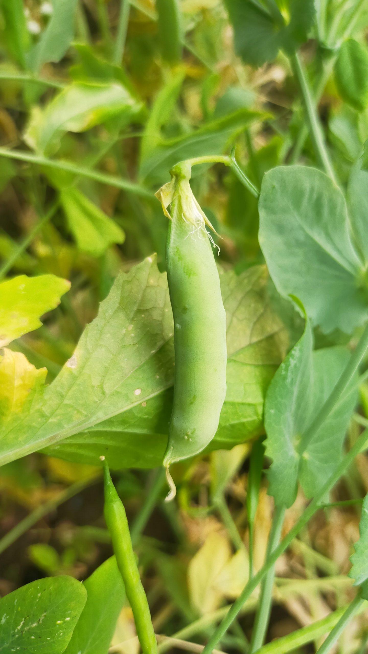 Peas legume