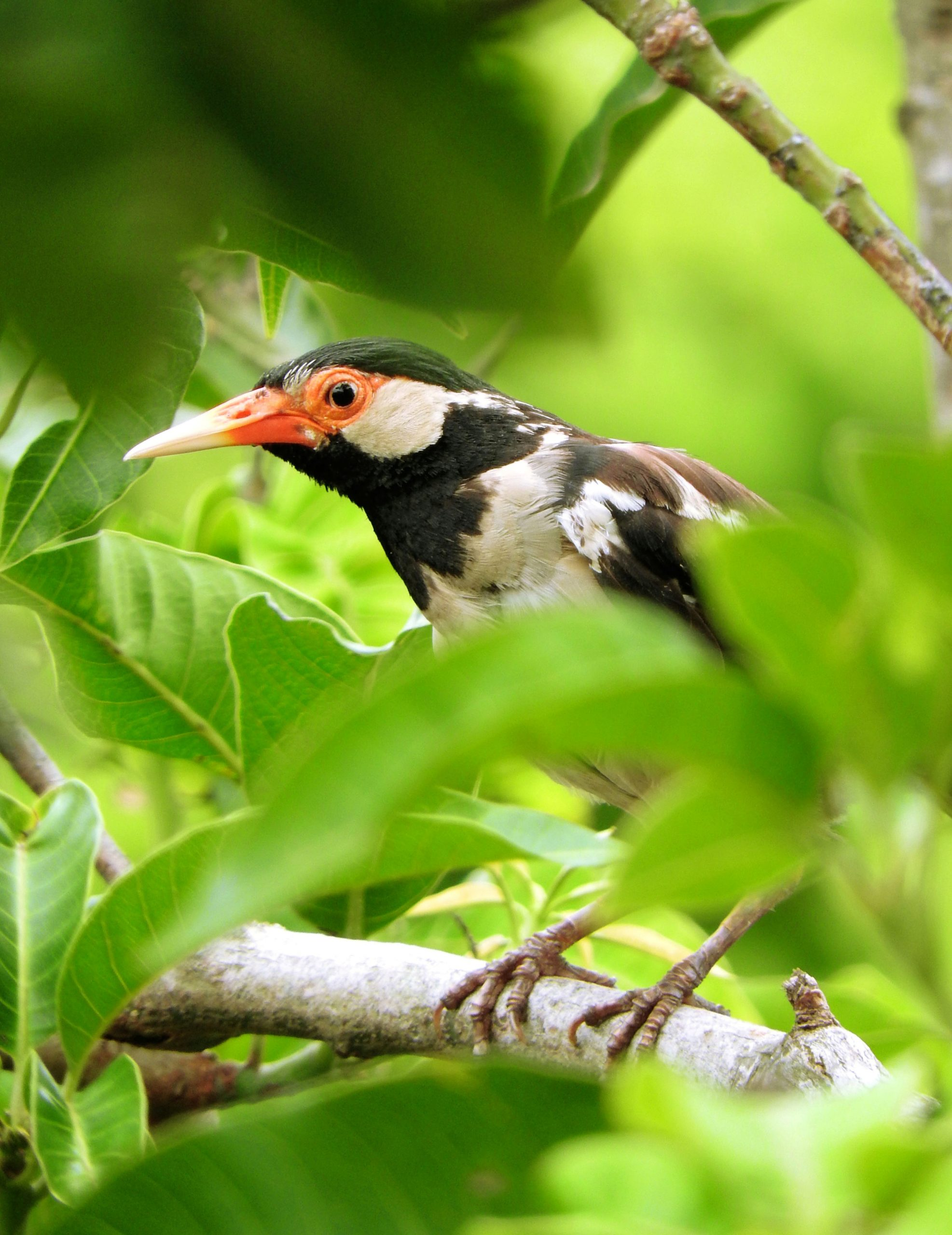 Pied Starling bird sitting on a branch