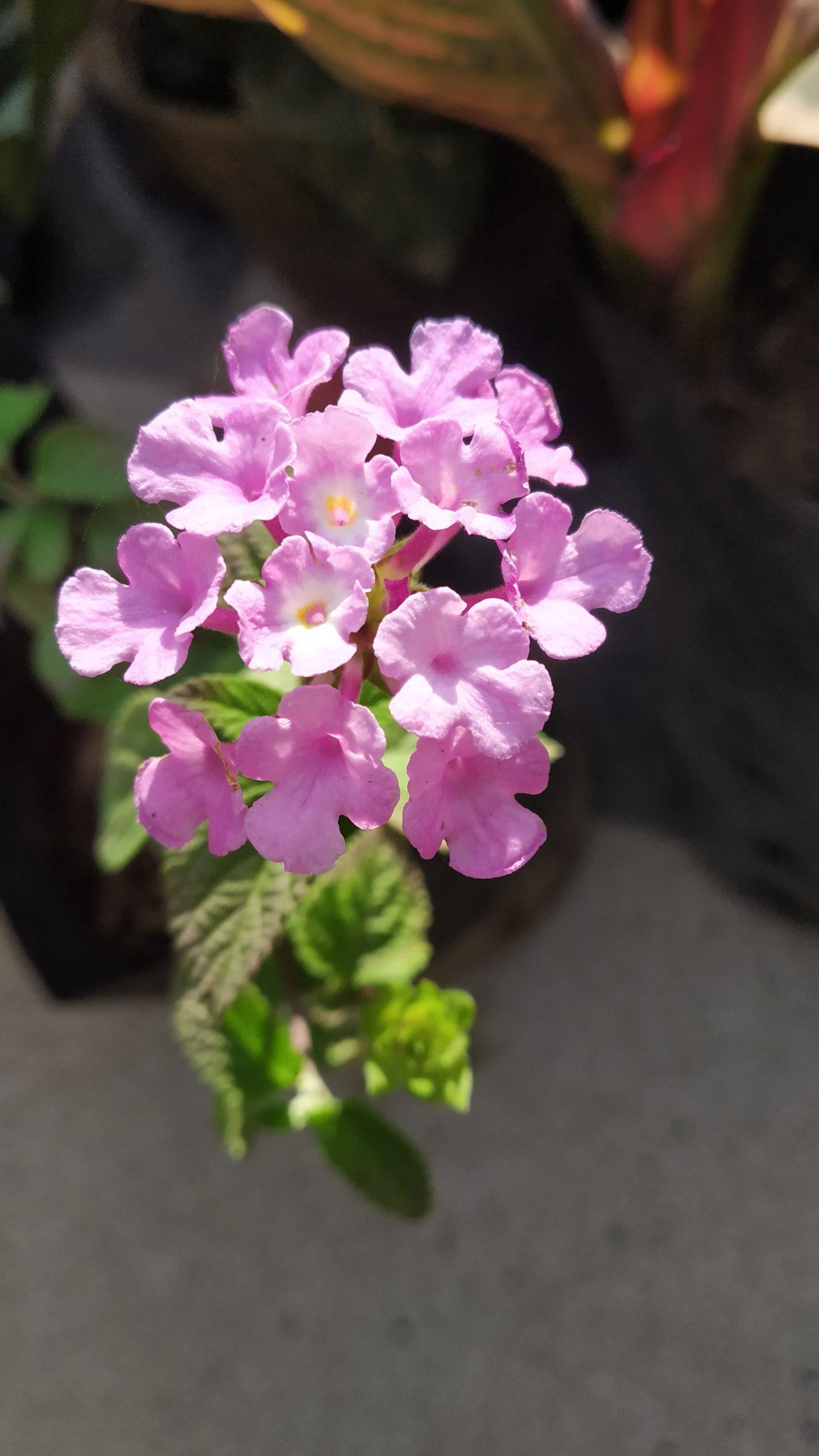 Pink Lantana flower