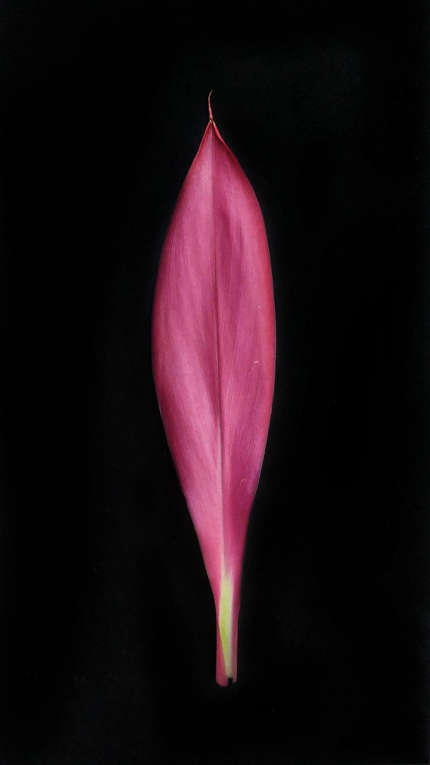 Plant Pink leaf