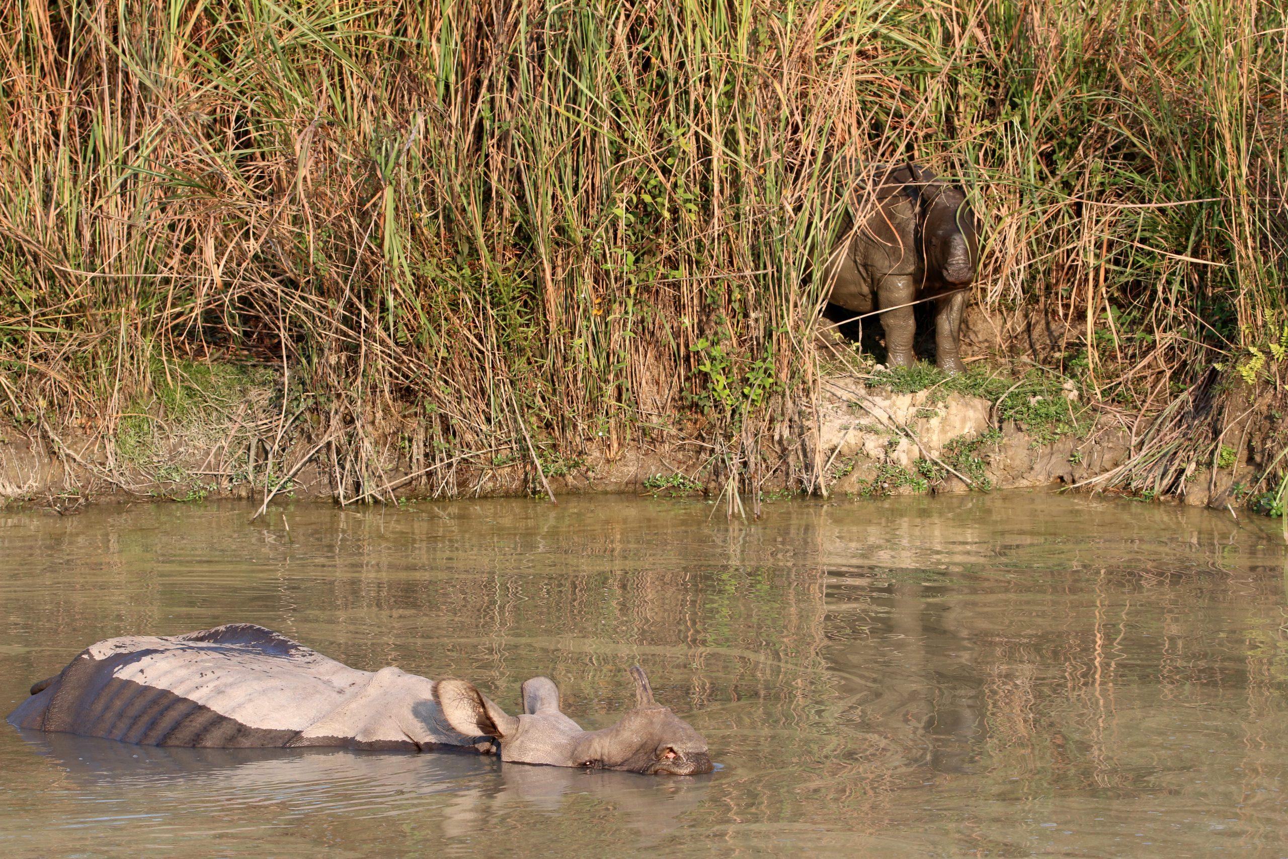 Rhino in the river