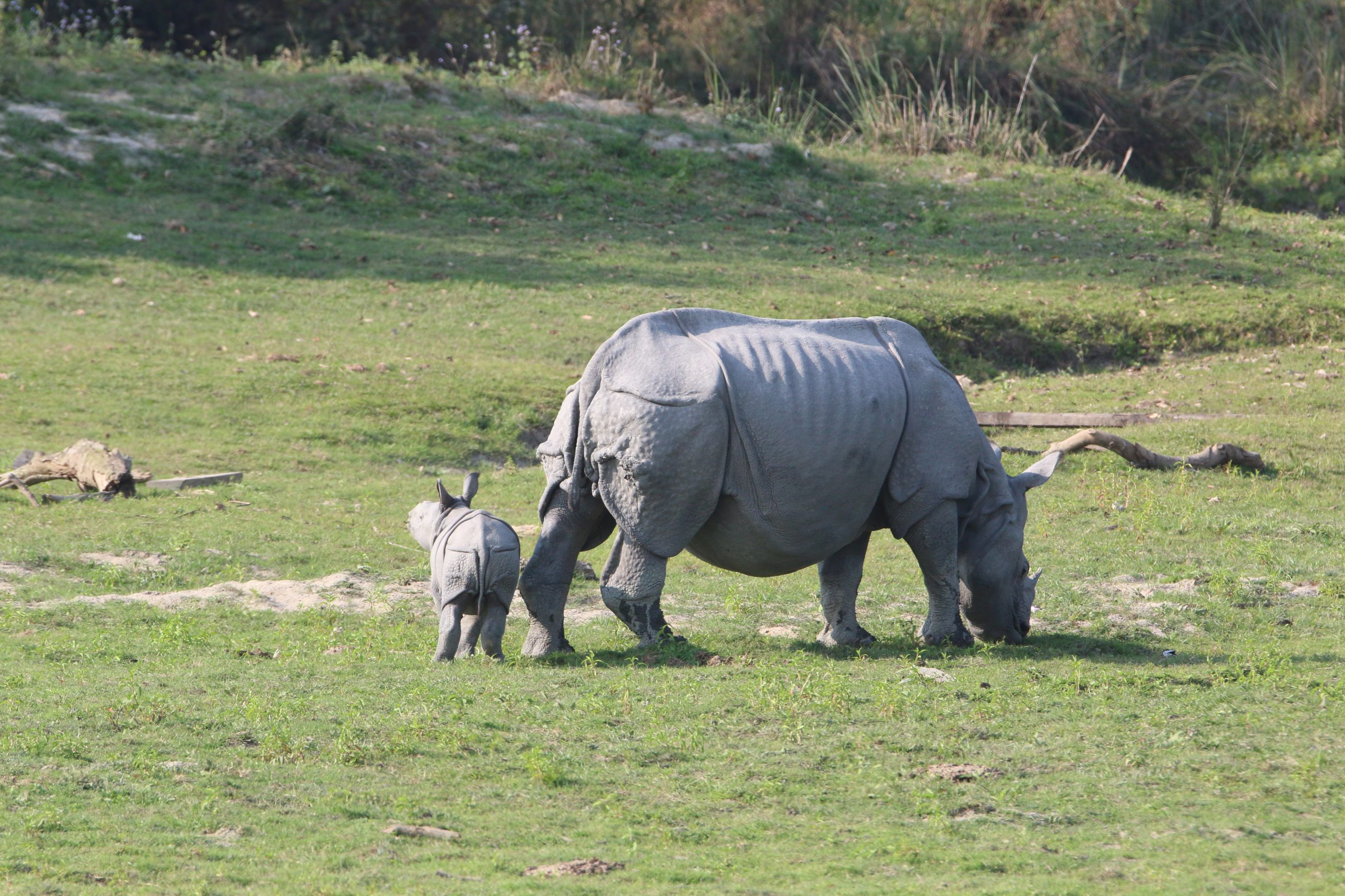 Rhino with a calf