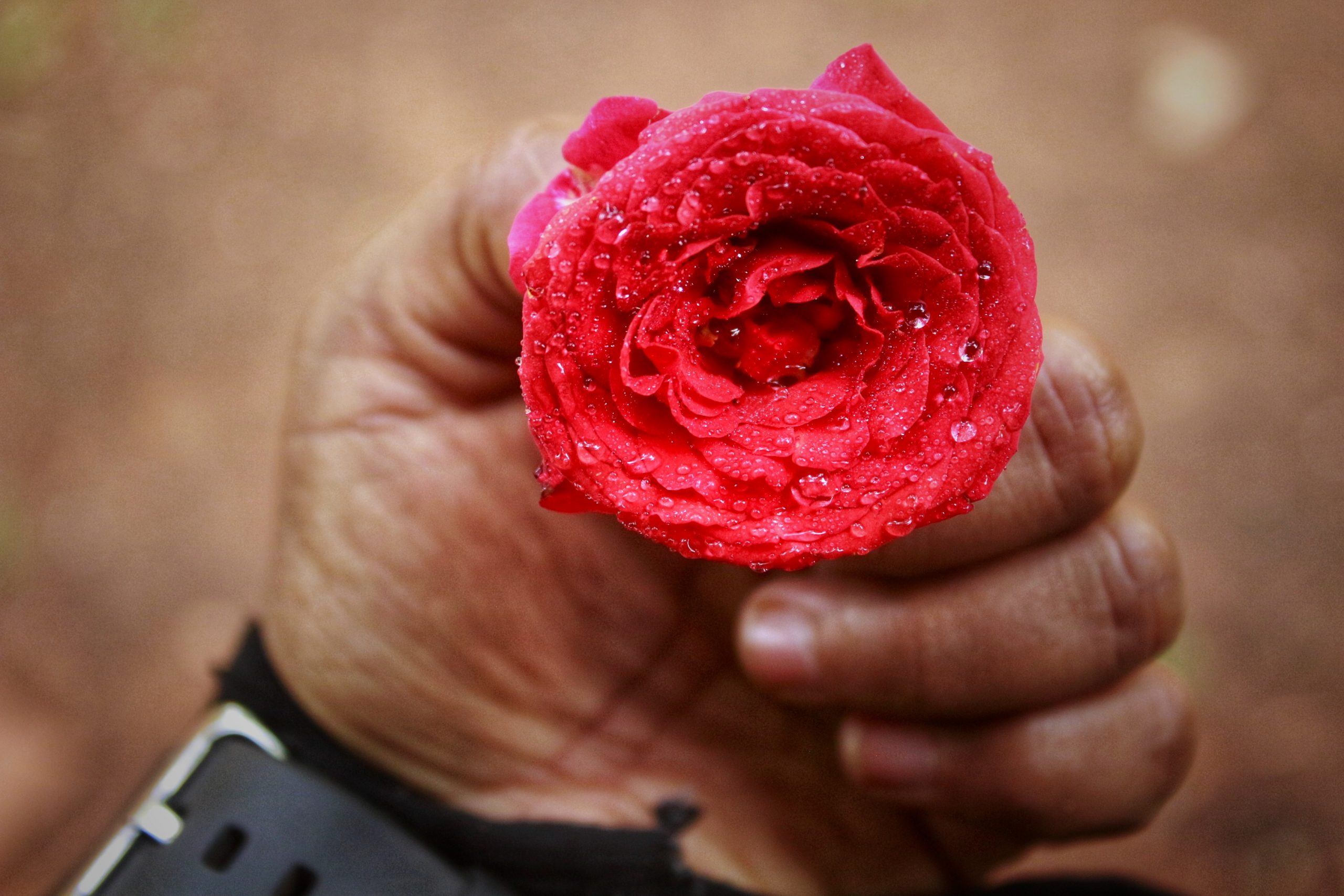 Rose with Water drops in hand
