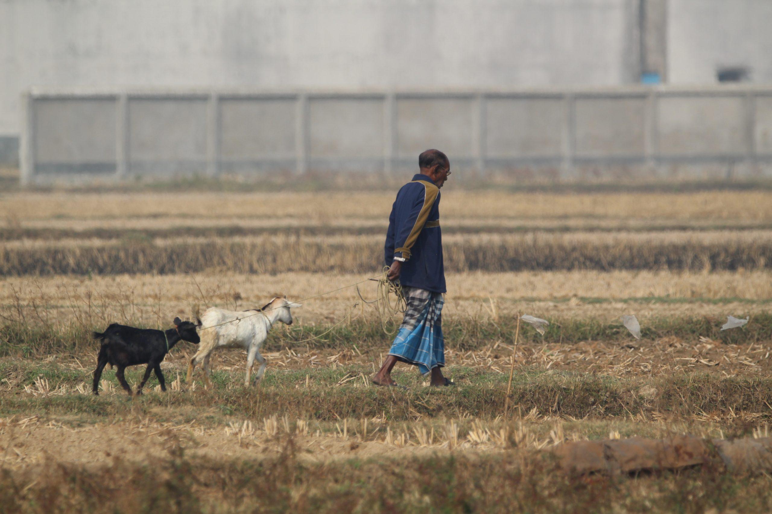 Man grazing Shepherd in the farm