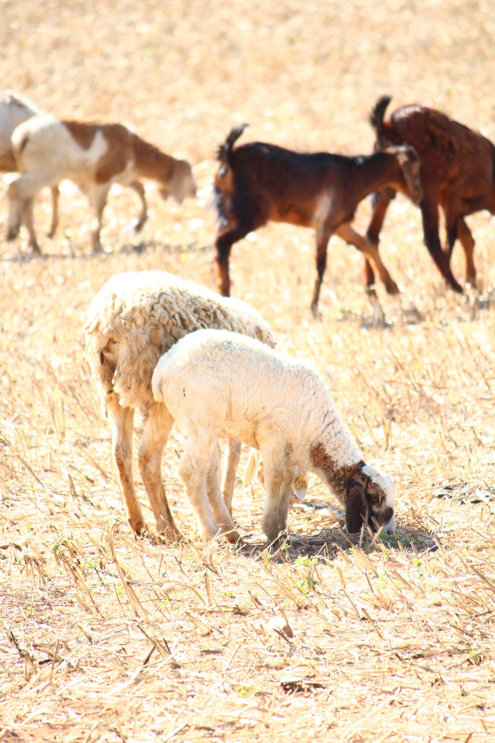 Shepherd grazing in a field